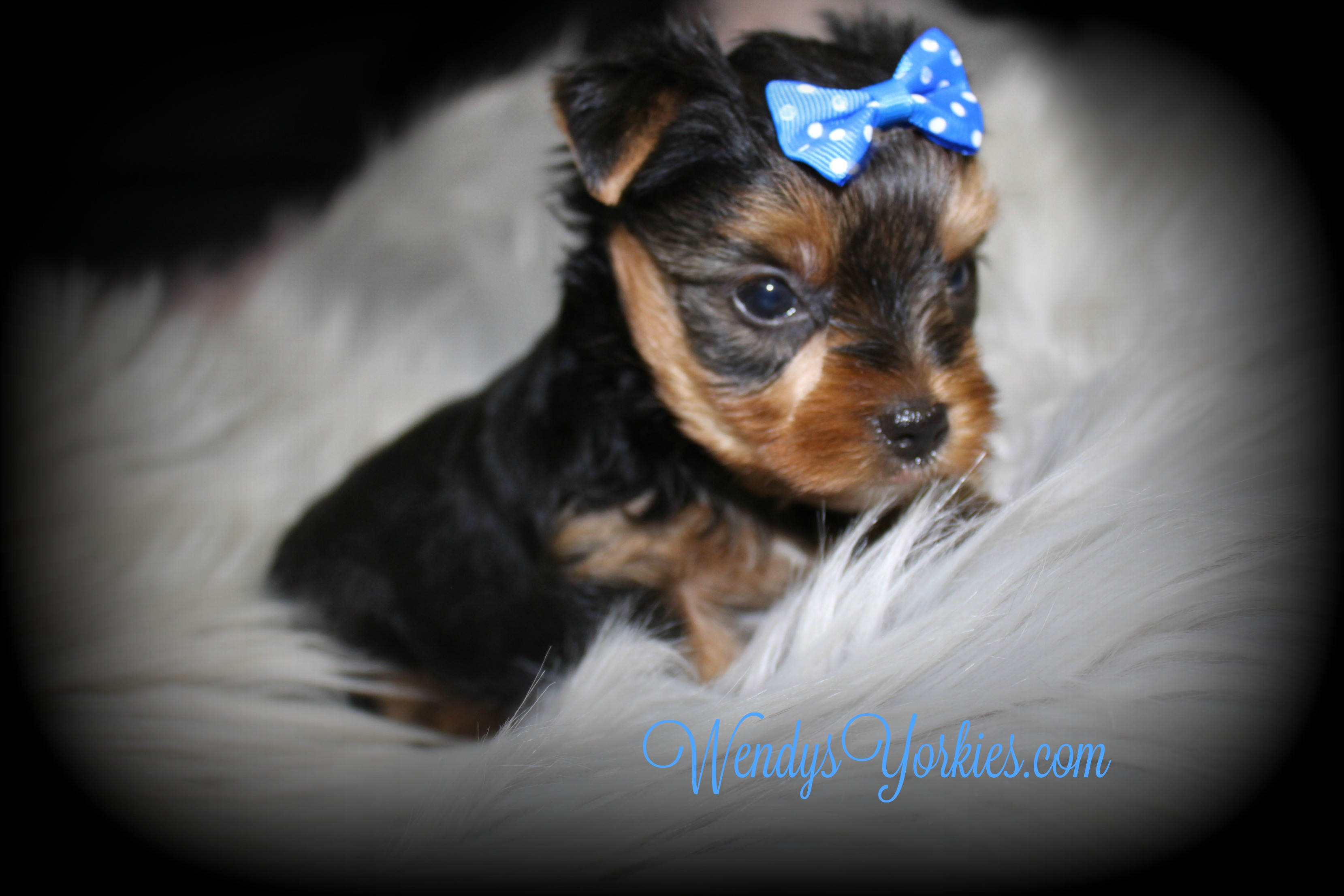 TEacup Yorkie puppy for sale, WendysYorkies.com, Grace m1