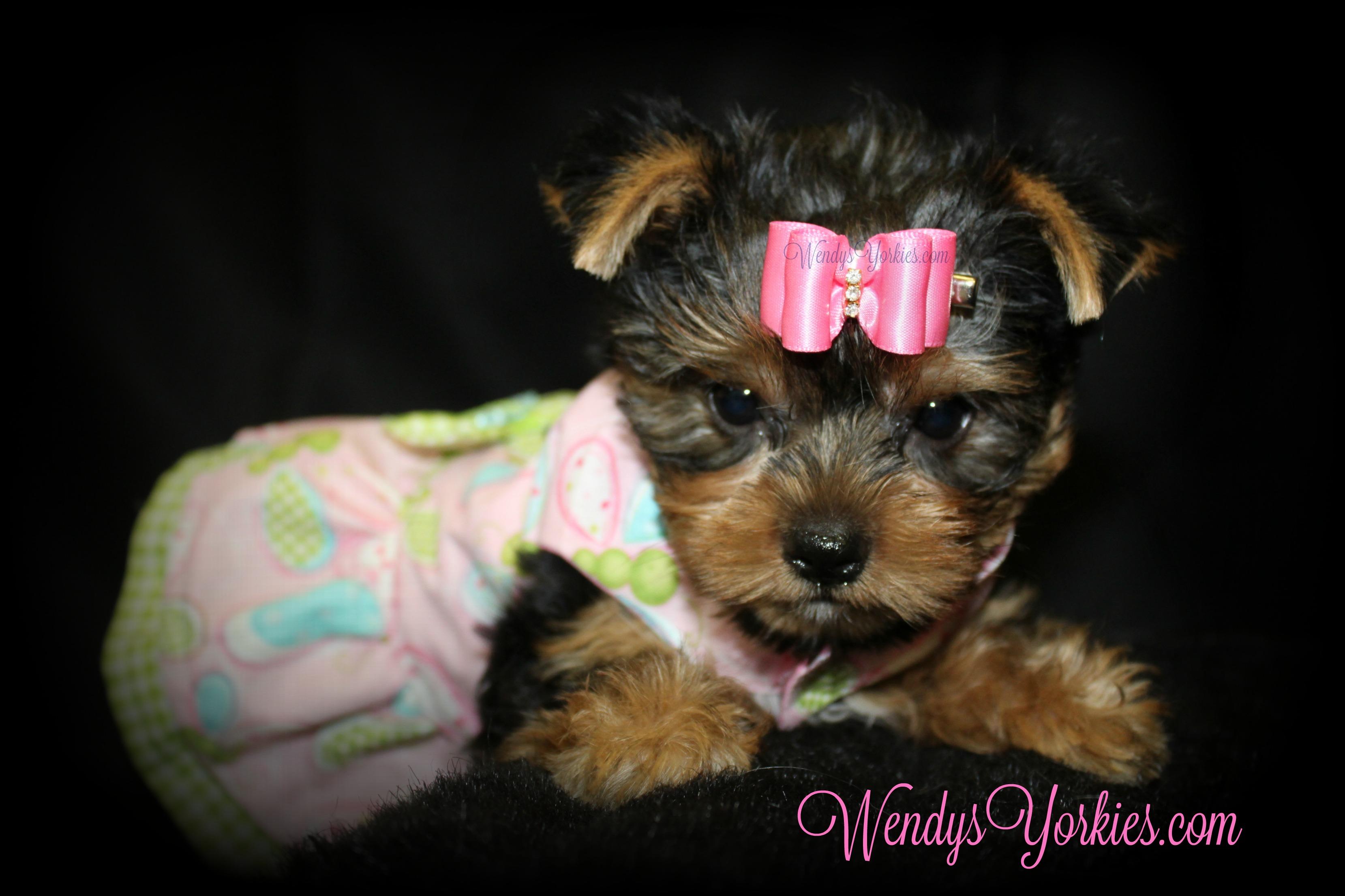 Teacup Girl Yorkie puppies for sale, WendysYorkies.com, Grace f1