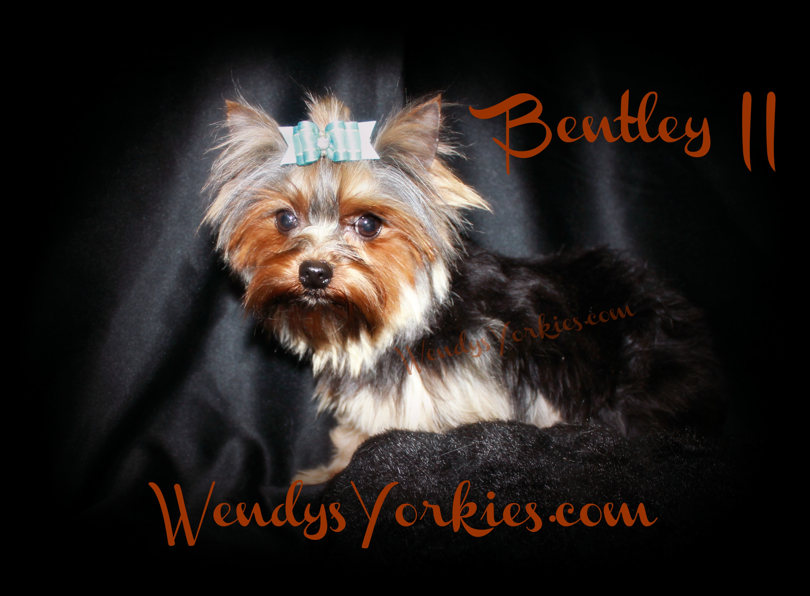 Teacup Male Yorkie, WendysYorkies.com, Yorkie breeder in Texas, Bentley II
