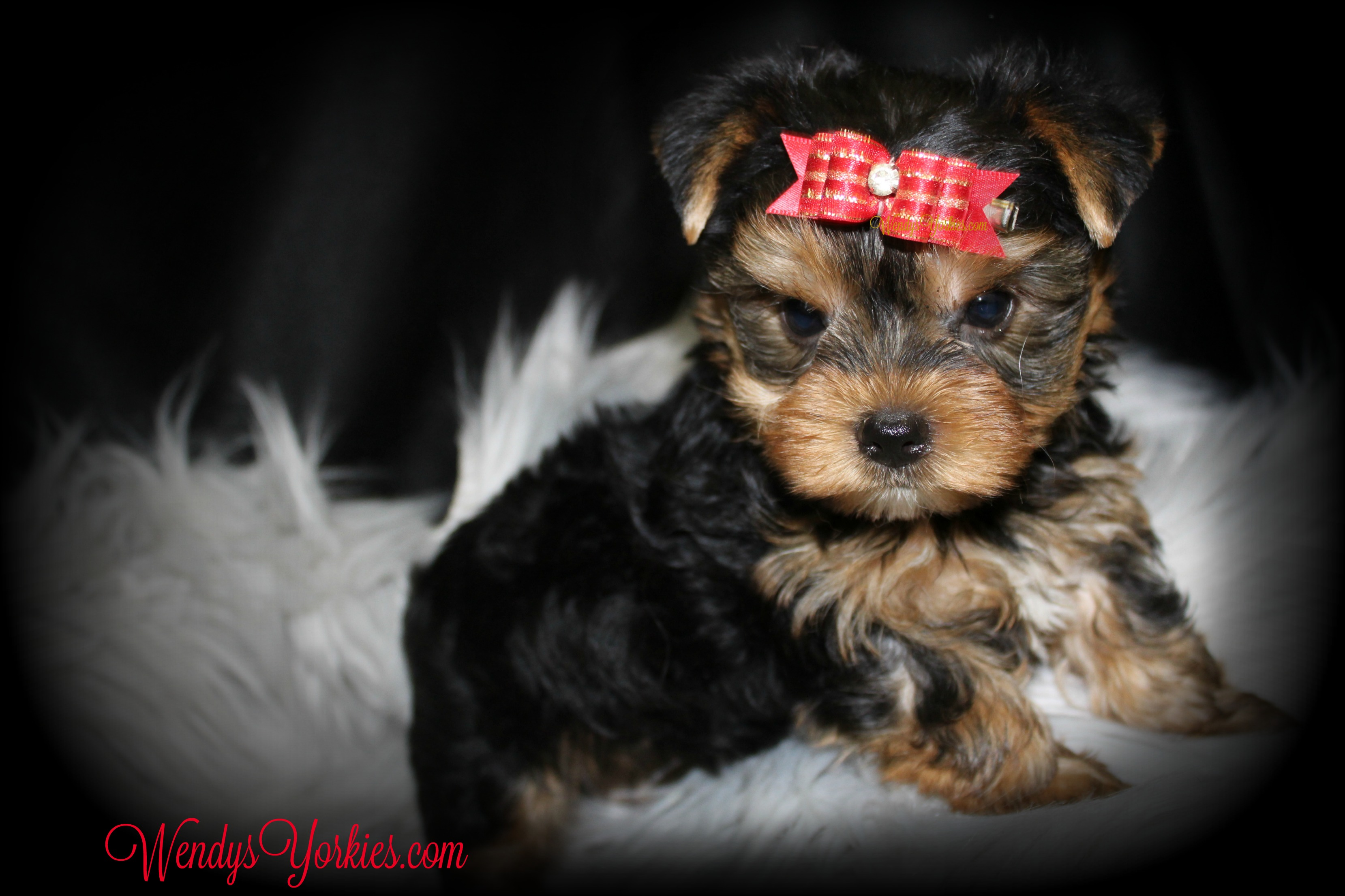 Teacup Male Yorkie puppy for sale, WendysYorkies.com, Grace m1