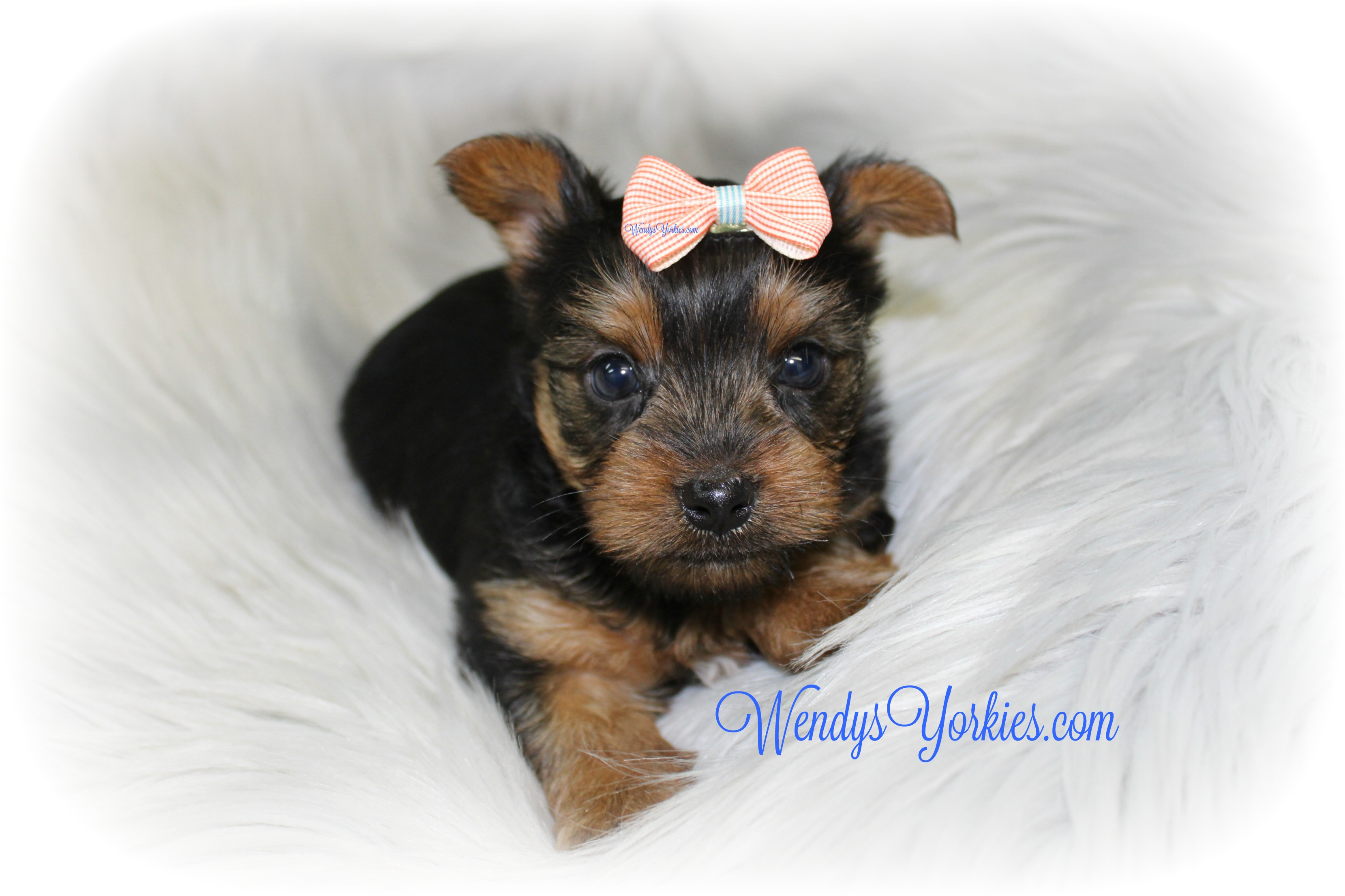 Teacup Male Yorkie puppy for sale, WendysYorkies.com, TG m1