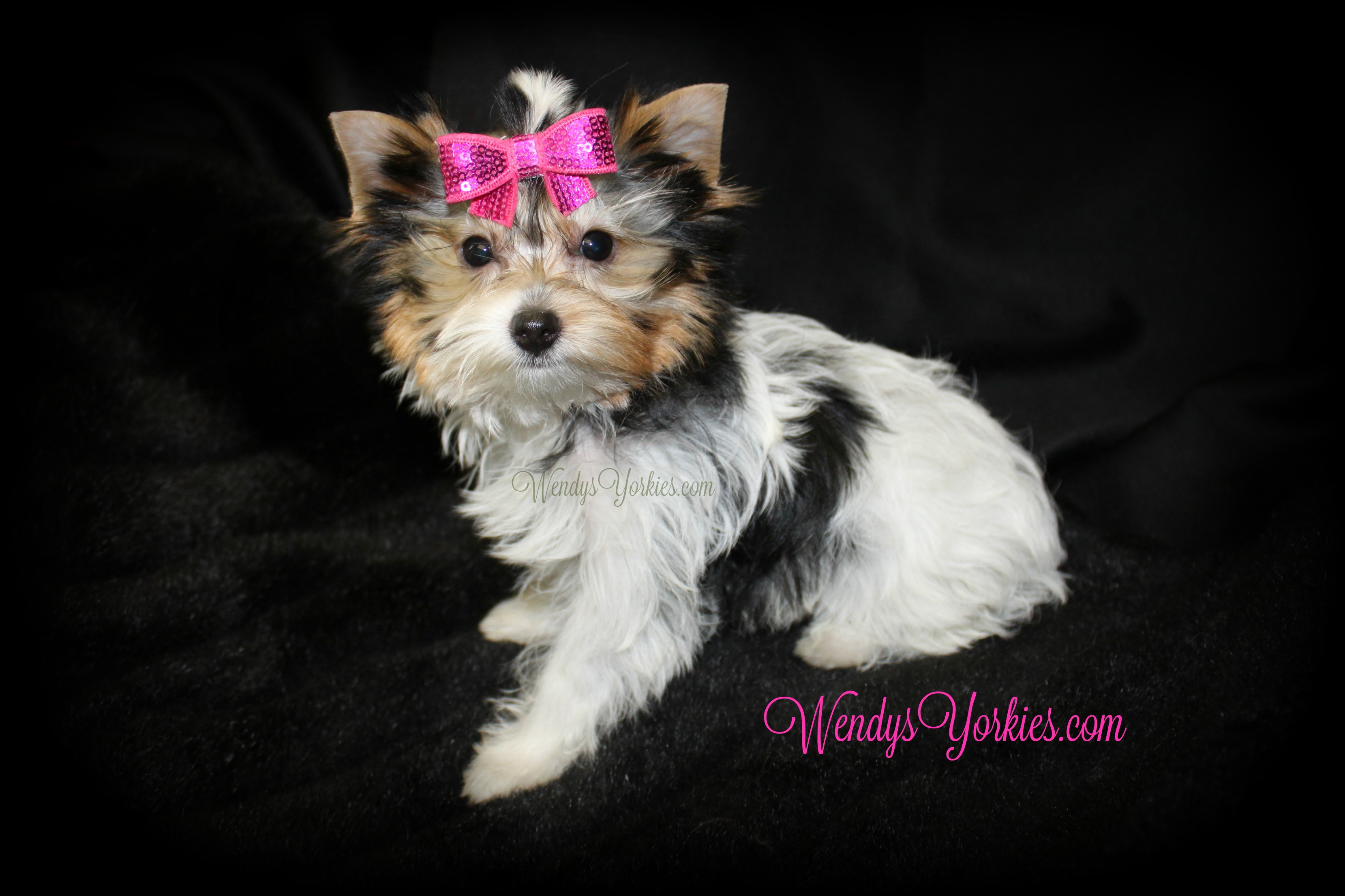 Teacup Toy Parti Yorkie puppy for sale, WendysYorkies.com, Daisypf1
