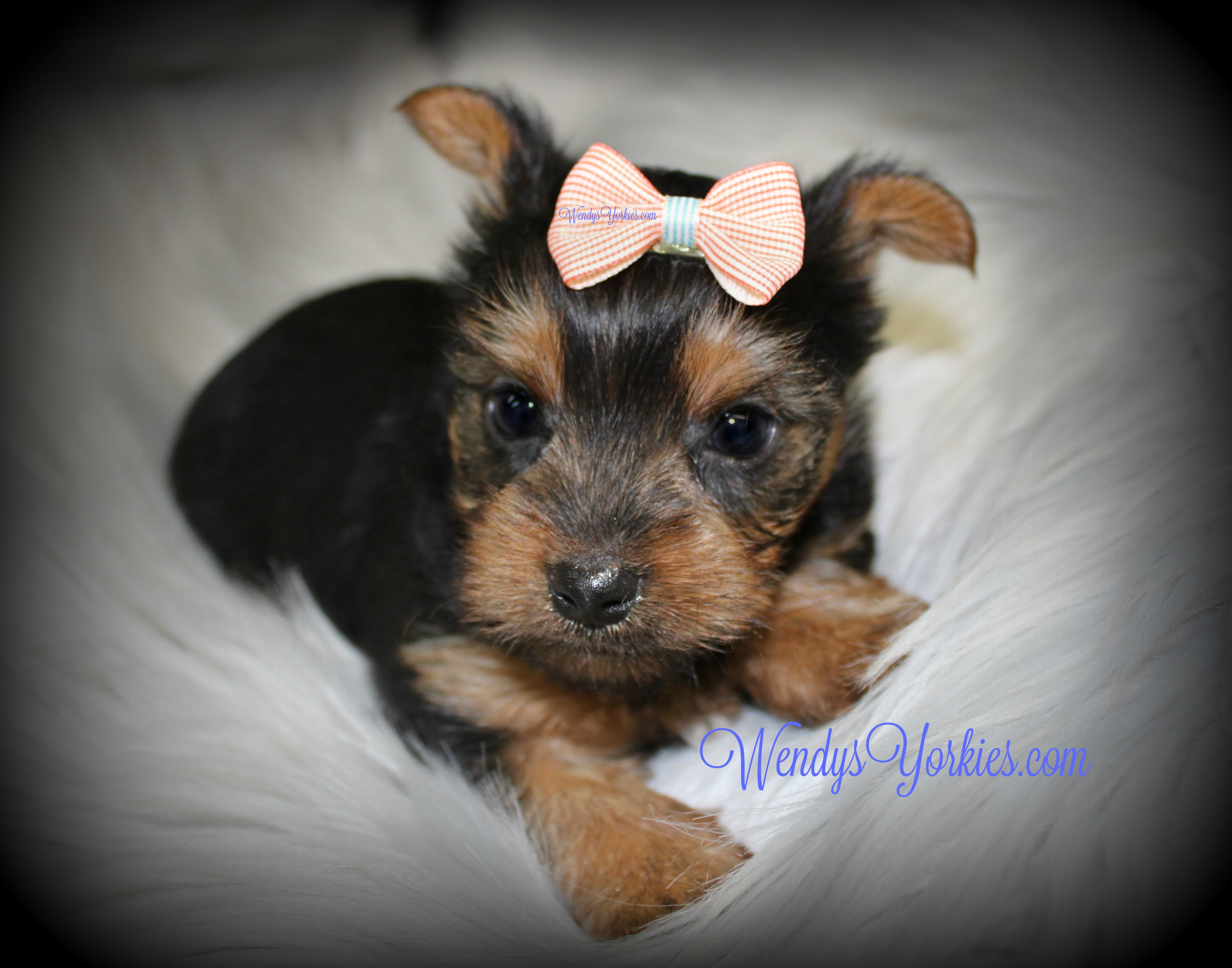 Teacup Yorkie puppy for sale, WendysYorkies.com, TG m1