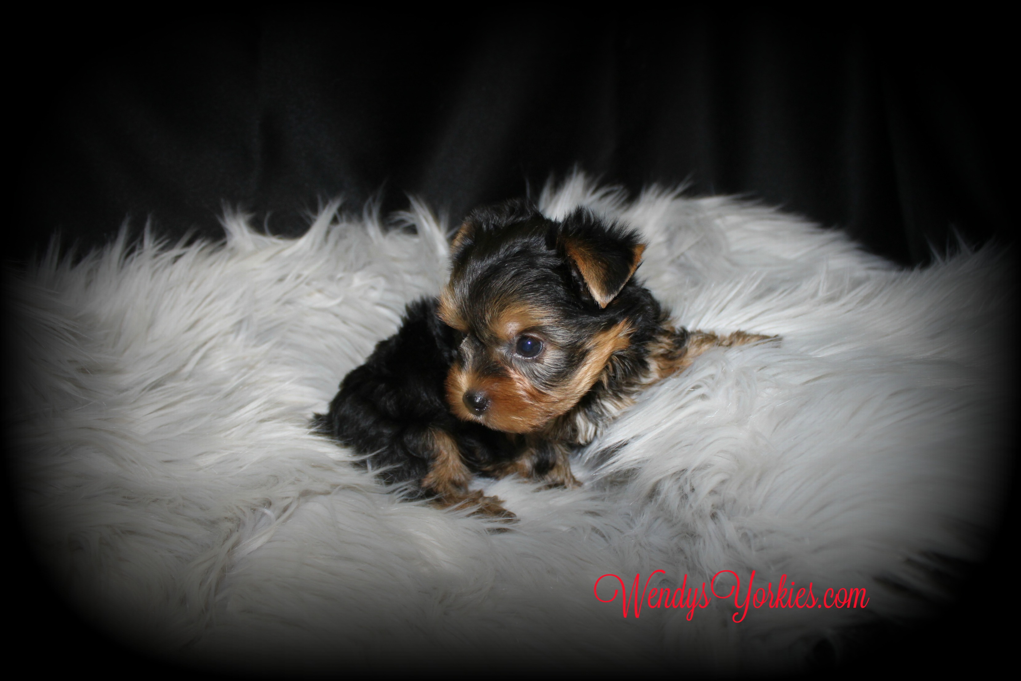 Teacup Yorkie puppy for sale, WendysYorkies,com, Grace m1