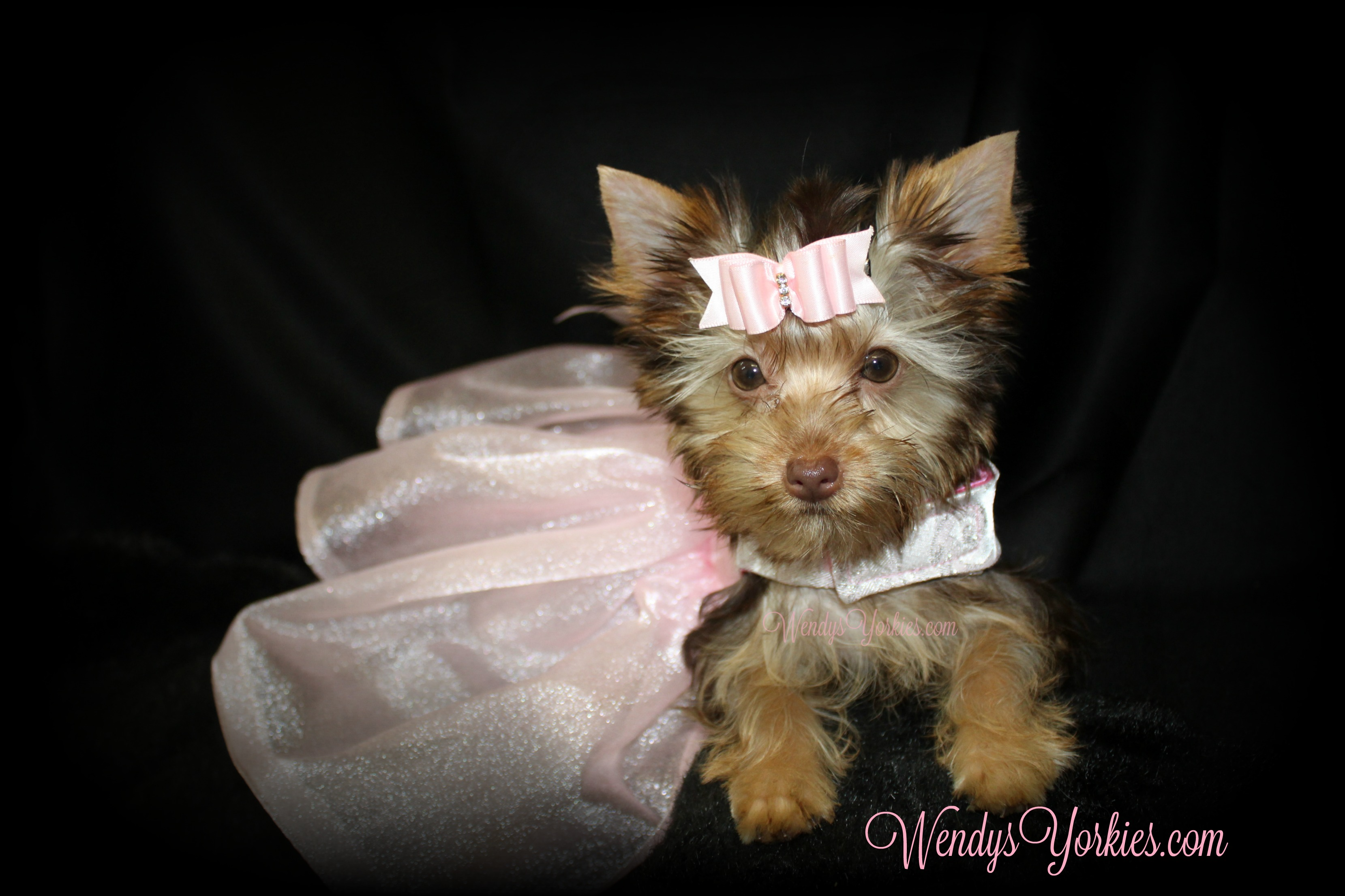 Tiny Chocolate Yorkie puppy for sale, WendysYorkies.com, Daisy cf