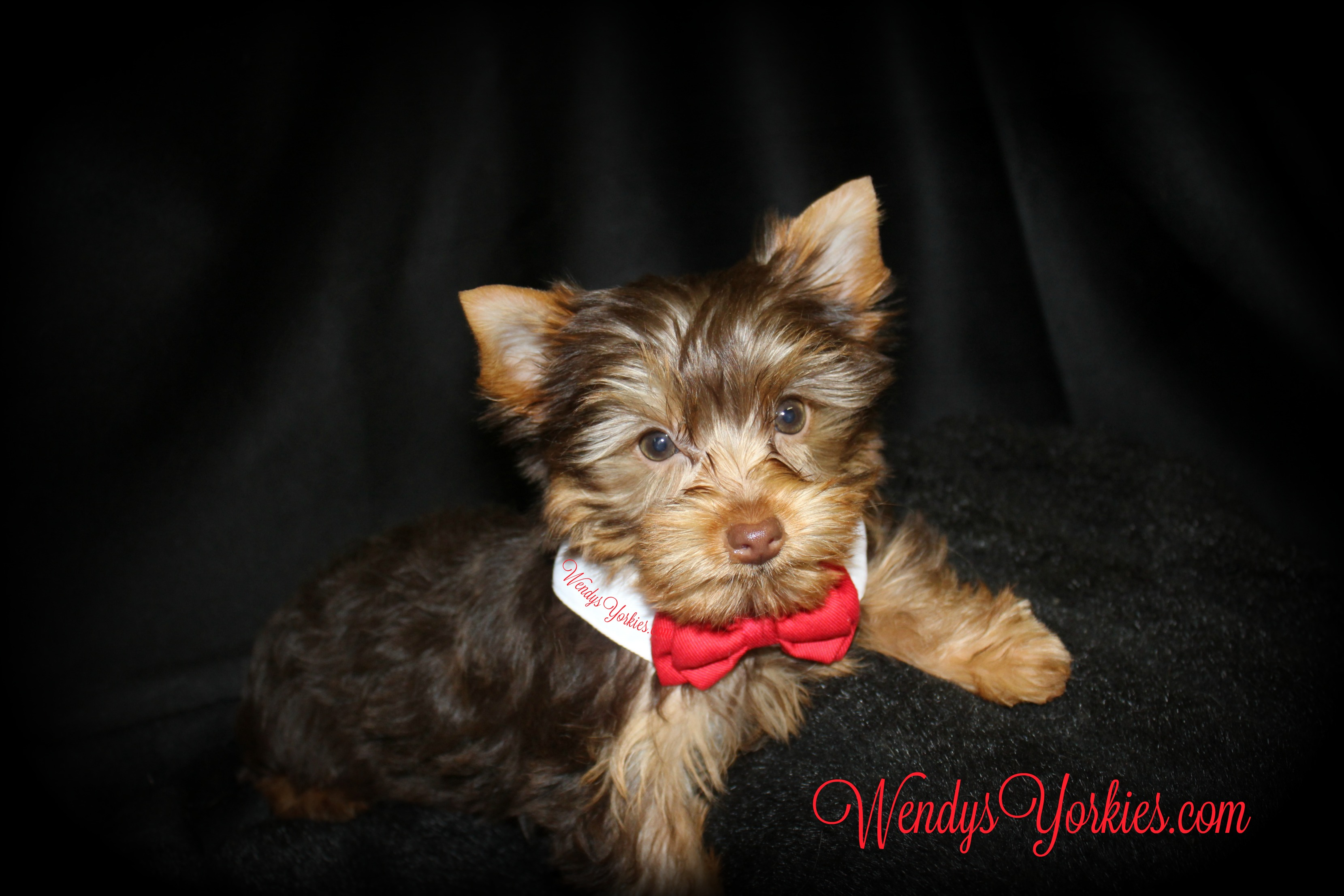 Tiny Chocolate Yorkie puppy for sale, WendysYorkies.com, Daisy cm1