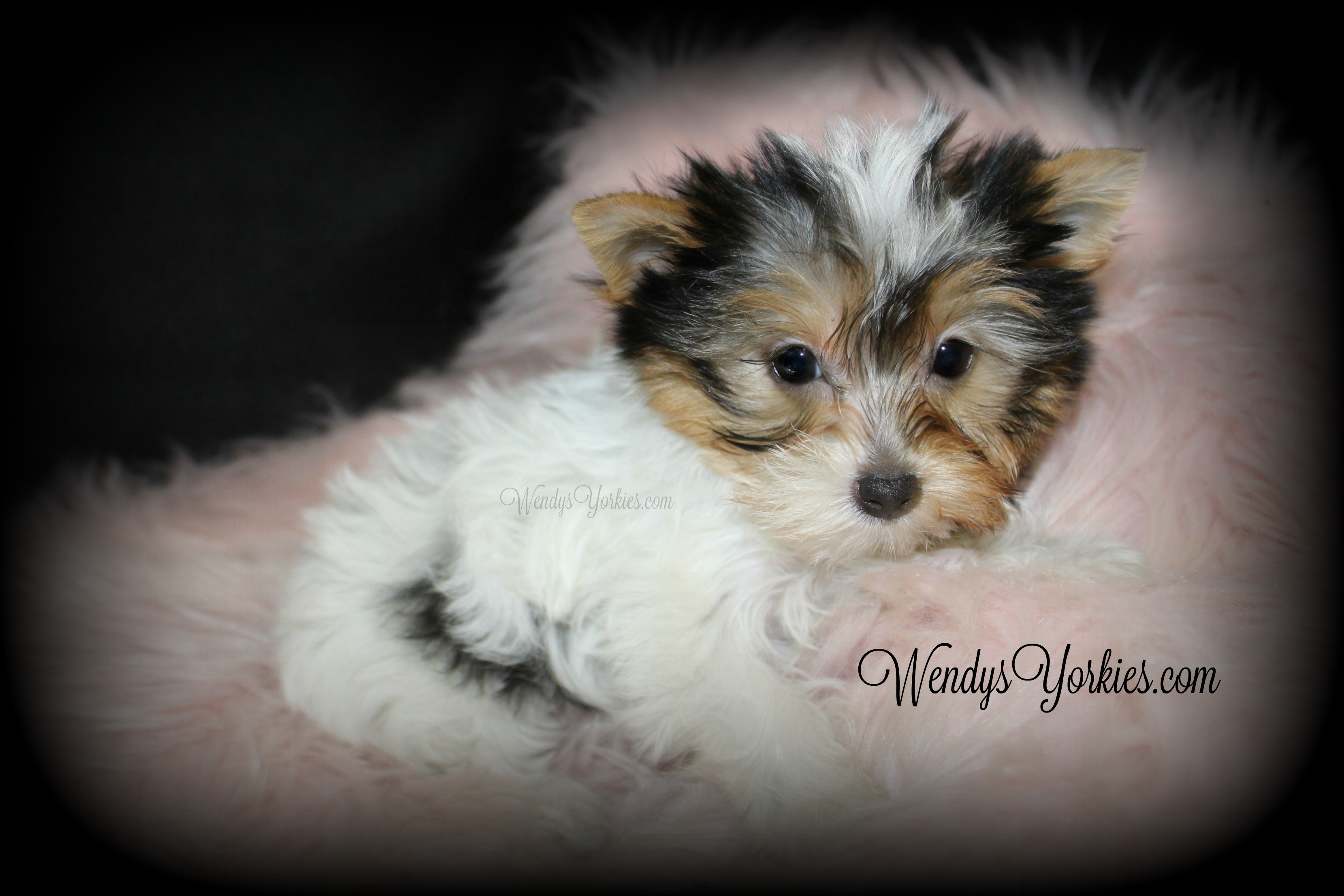 Tiny Parti Yorkie puppy for sale, Party Yorkies for sale, WendysYorkies.com, Daisy Pf1