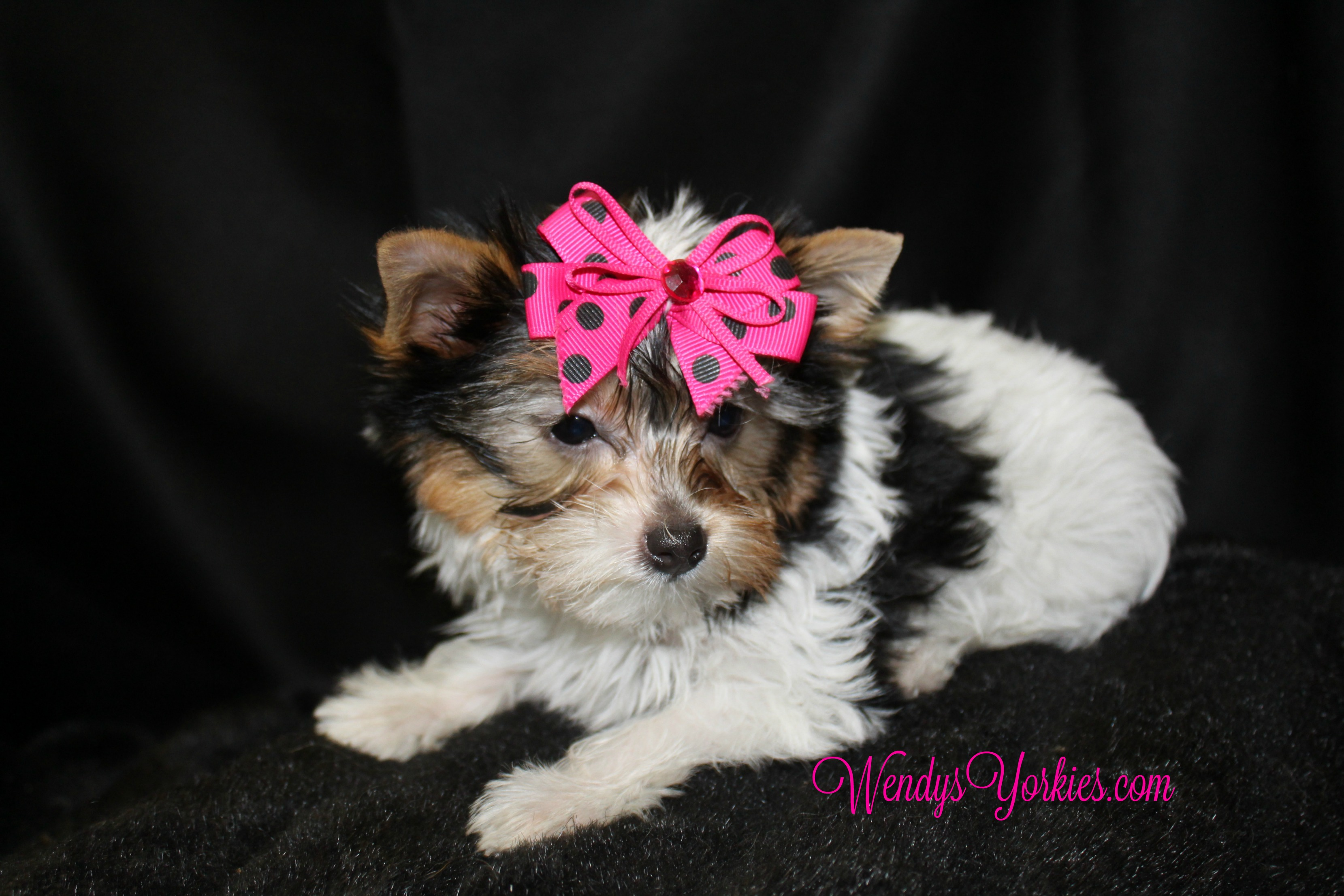 Tiny Teacup Parti Yorkie puppies for sale, WendysYorkies.com, Daisy pf1