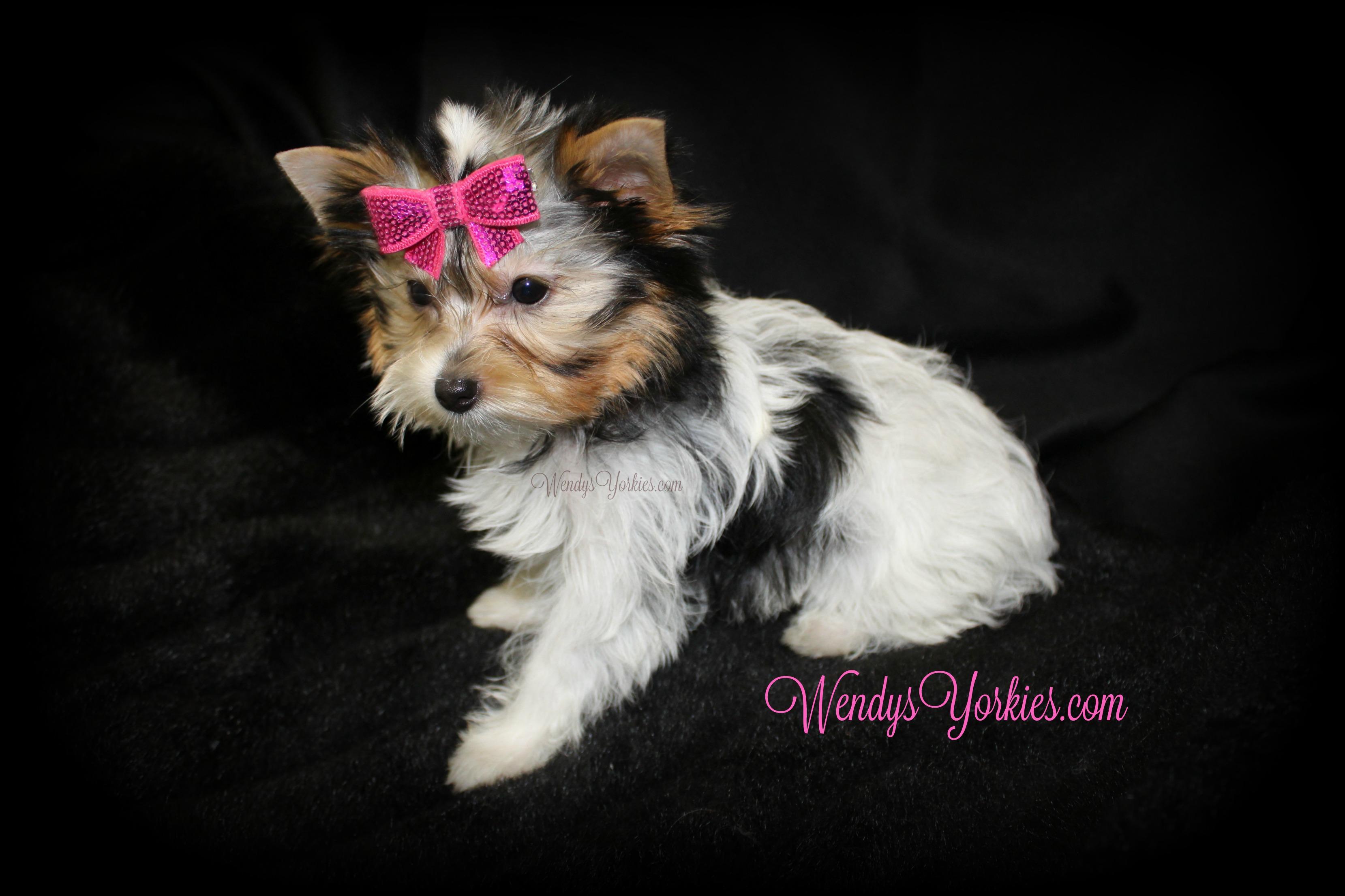 Tiny Teacup Parti Yorkie puppy, WendysYorkies.com, Daisy pf1