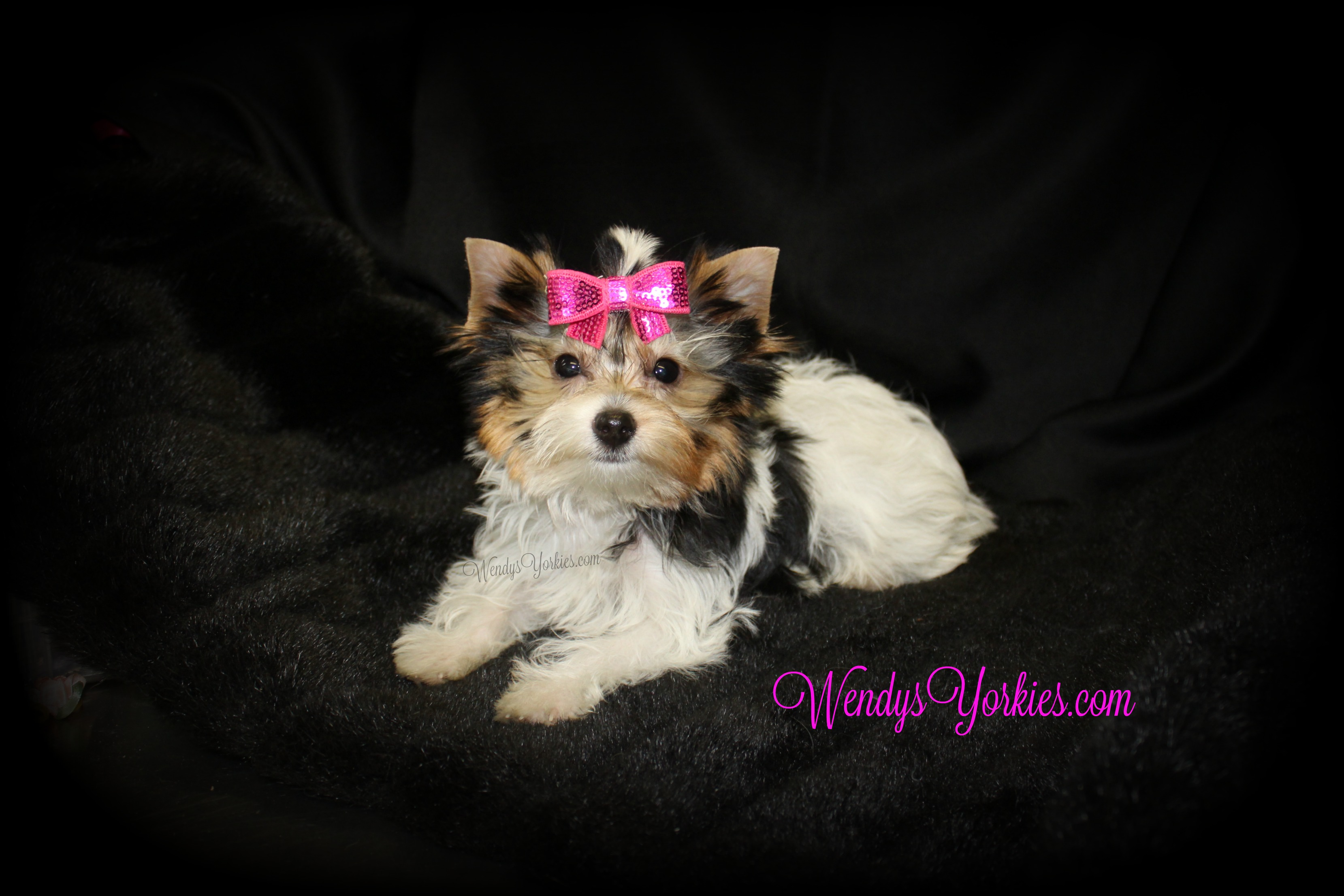 Tiny Teacup Parti Yorkie puppy for sale, WendysYorkies.com, Daisy pf1