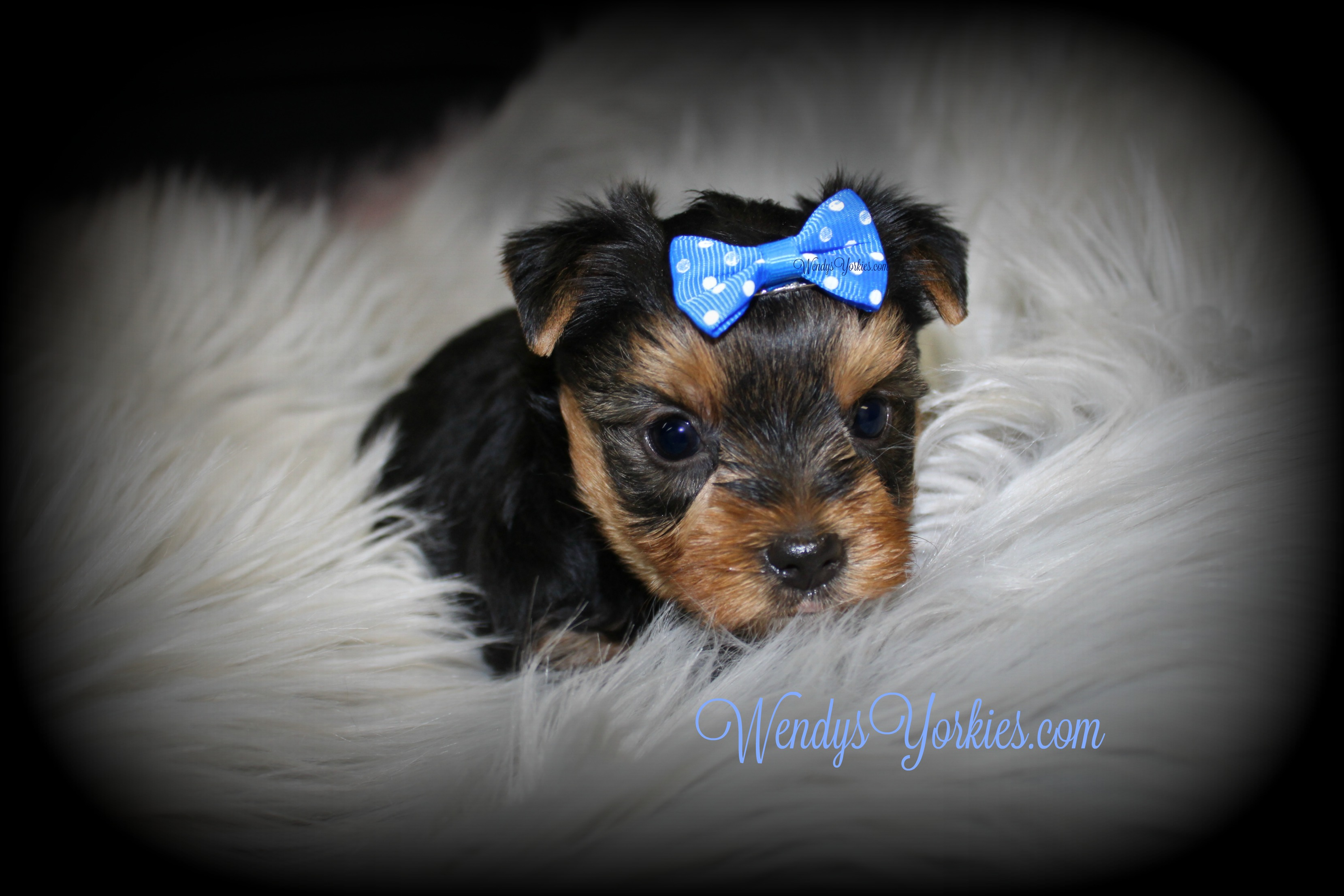 Toy Yorkie puppies for sale, WEndysYorkies.com, Grace m1