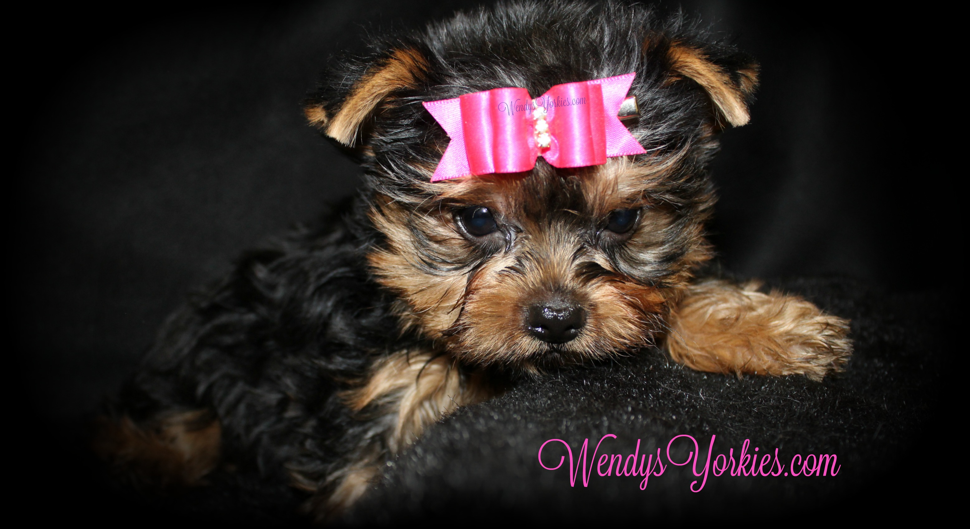 Toy Yorkie puppies for sale, WendysYorkies.com, Grace f2