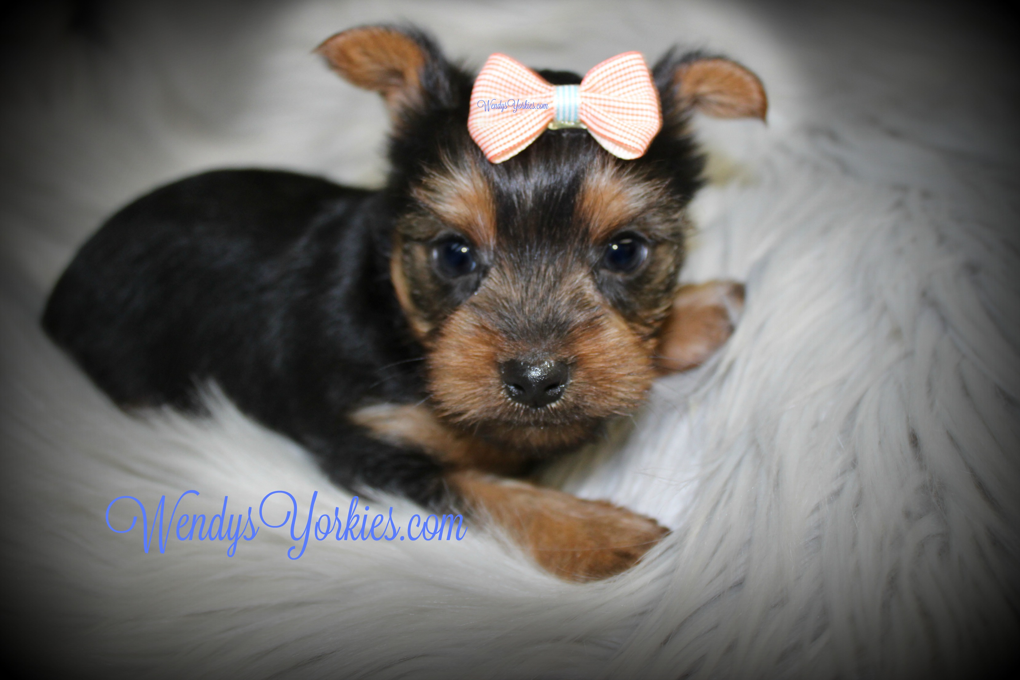 Yorkie puppies for sale, WendysYorkies.com, TG m1