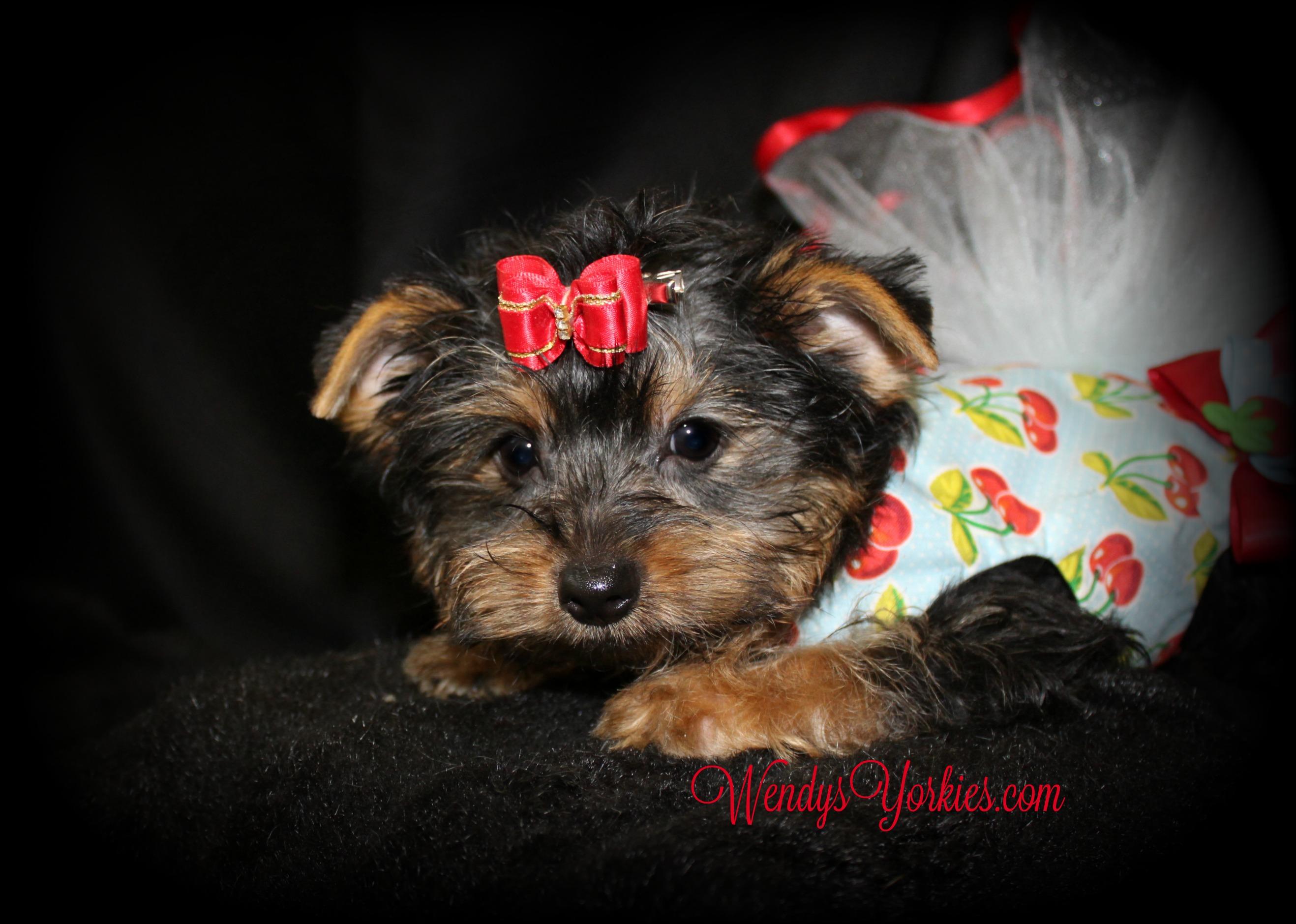 Female Yorkie puppy for sale, WendysYorkies.com, anna f1