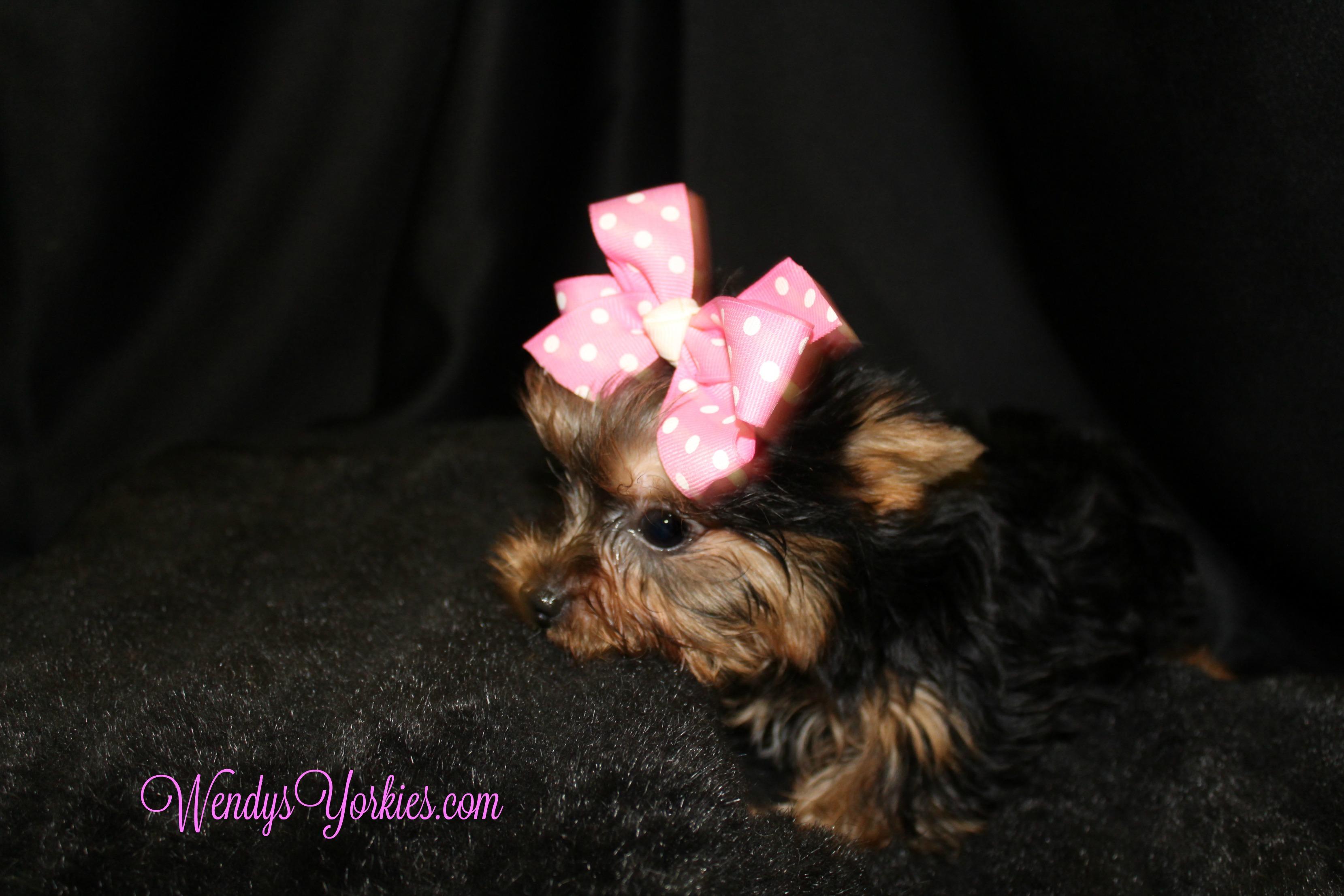 Minnie,Yorkie puppy for sale