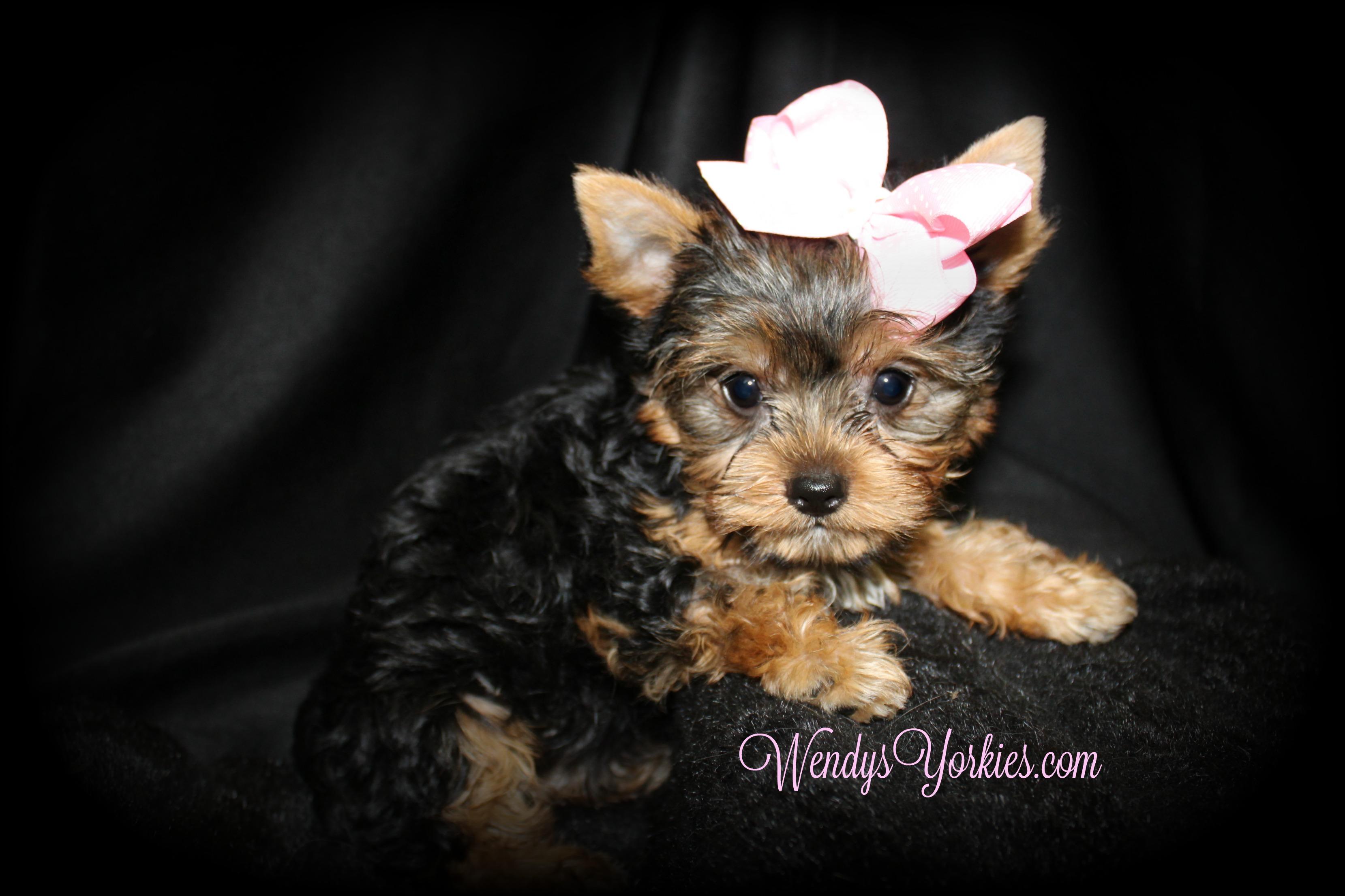 Yorkie puppies for sale in Texas, WendysYorkies.com, Gracie