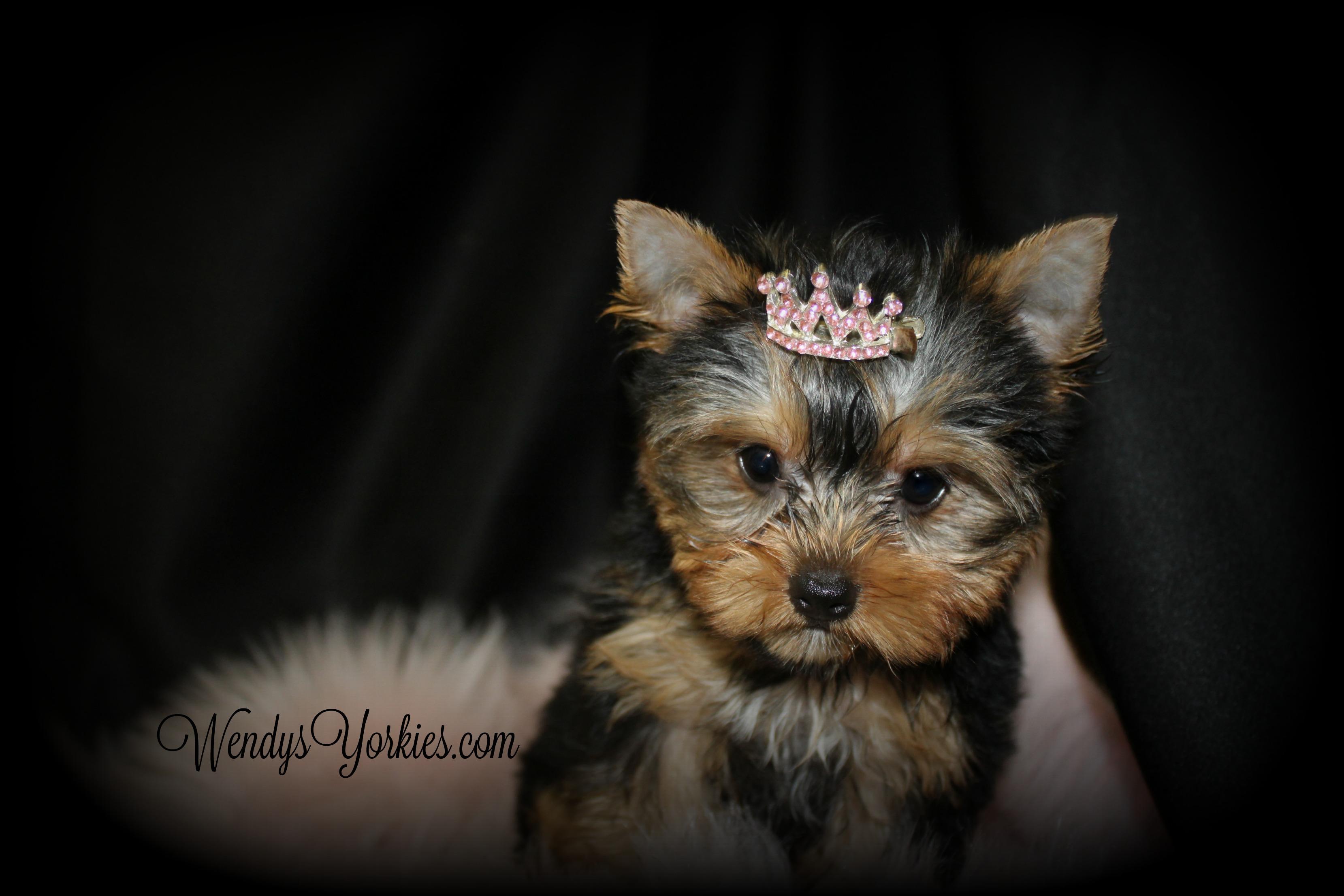 Yorkie puppy, Gracie