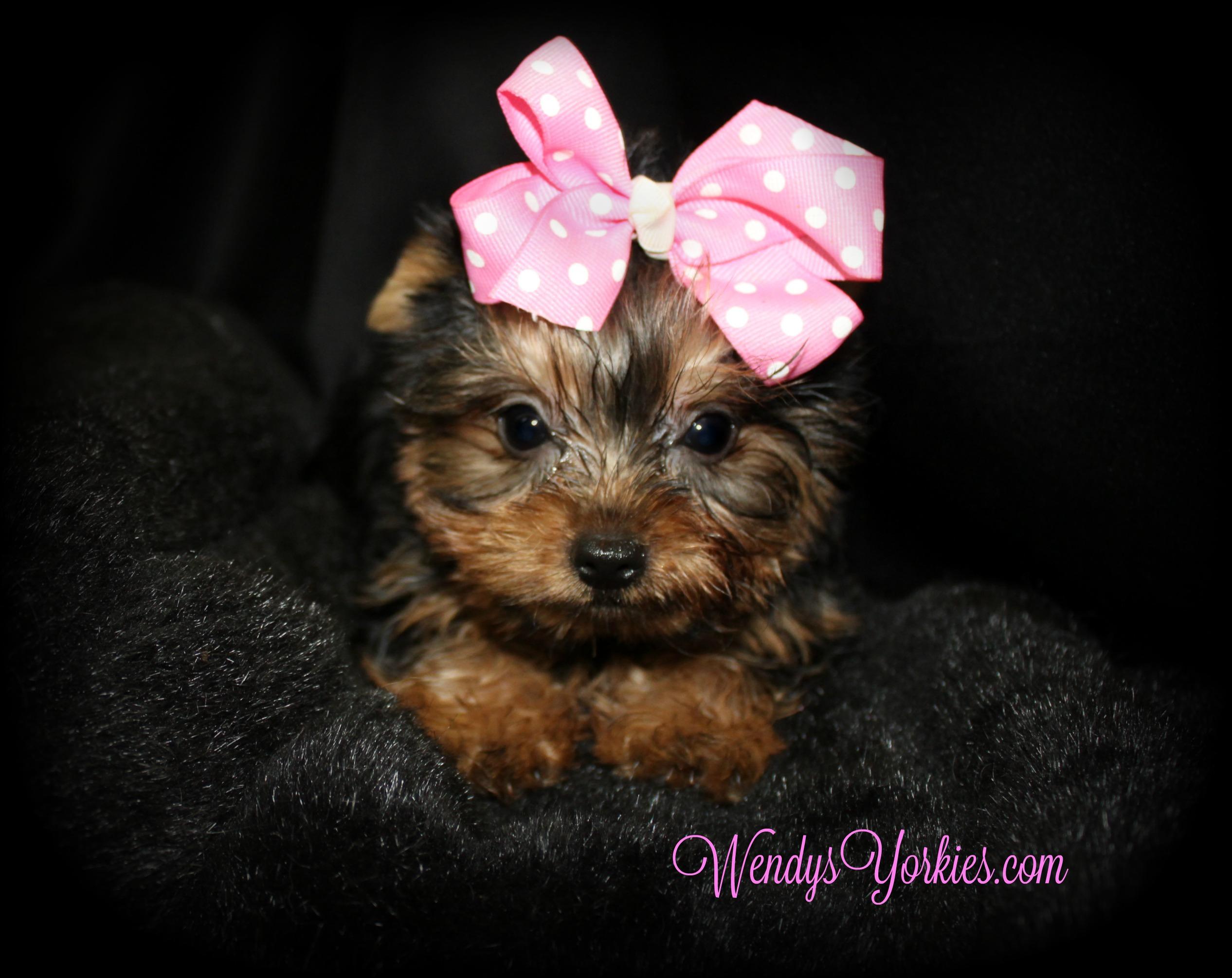 Yorkie puppy for sale, WendysYorkies.com, Grace fMinnie