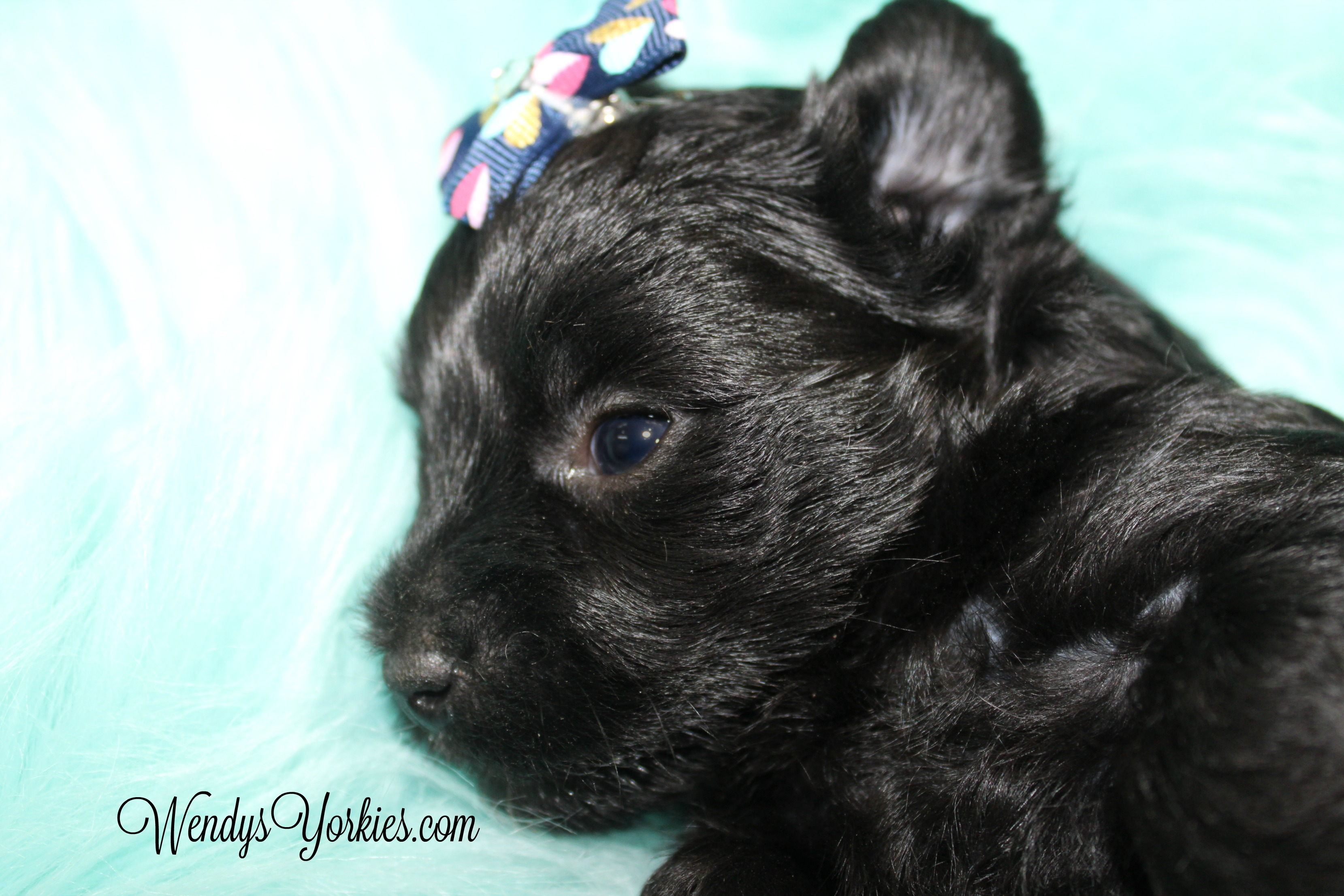 Available Male Yorkshire Terrier Puppies For Sale In Tx Wendys Yorkies