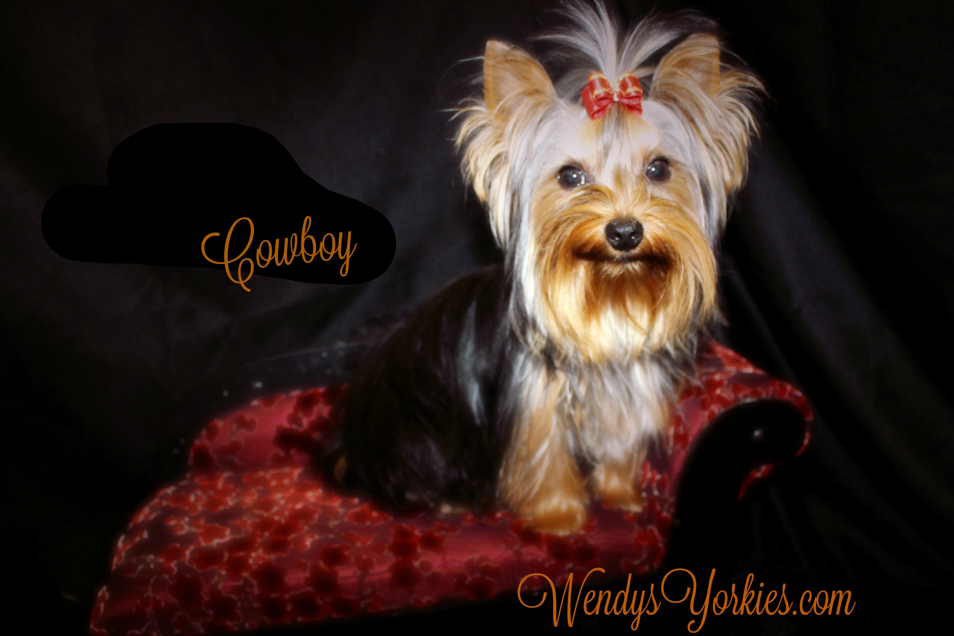 Yorkie puppy Breeder in Texas, Cowboy, WendysYorkies.com, Cutest Yorkies for sale, Cowboy Yorkie