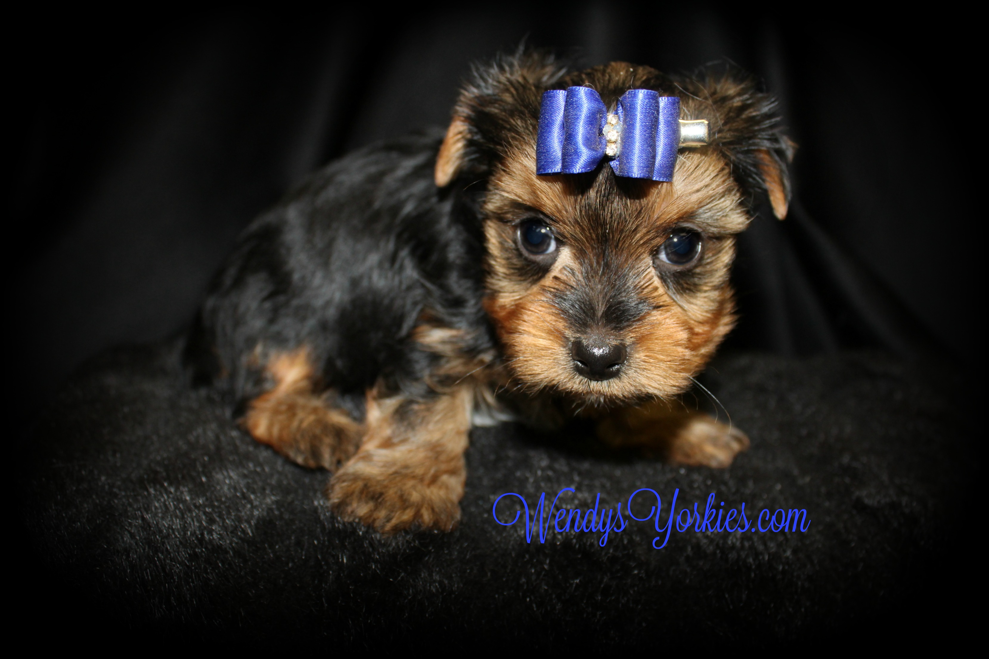 Male Yorkie puppy for sale, WendysYorkies.com