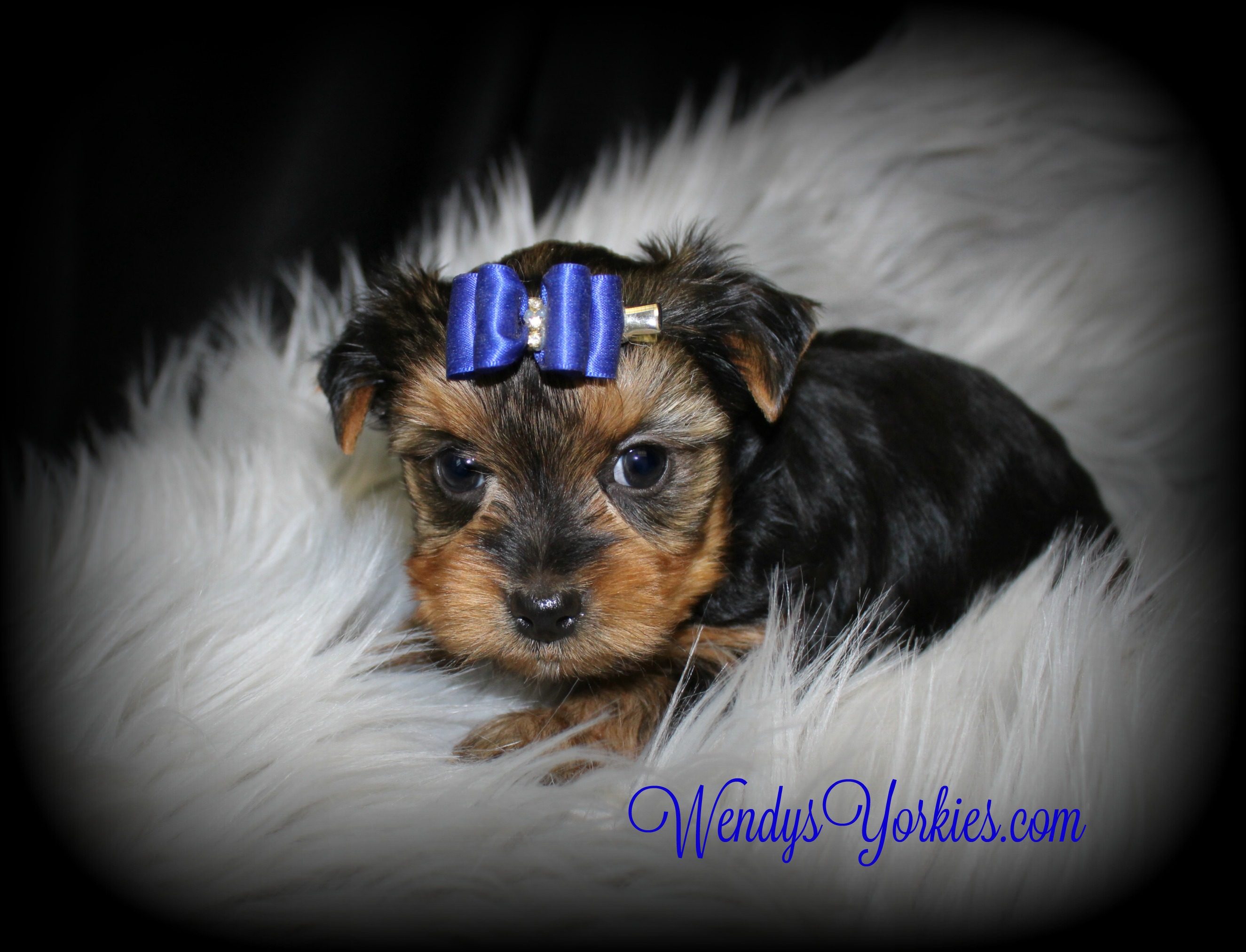 Toy Yorkie puppy for sale, Harley m1, WendysYorkies.com
