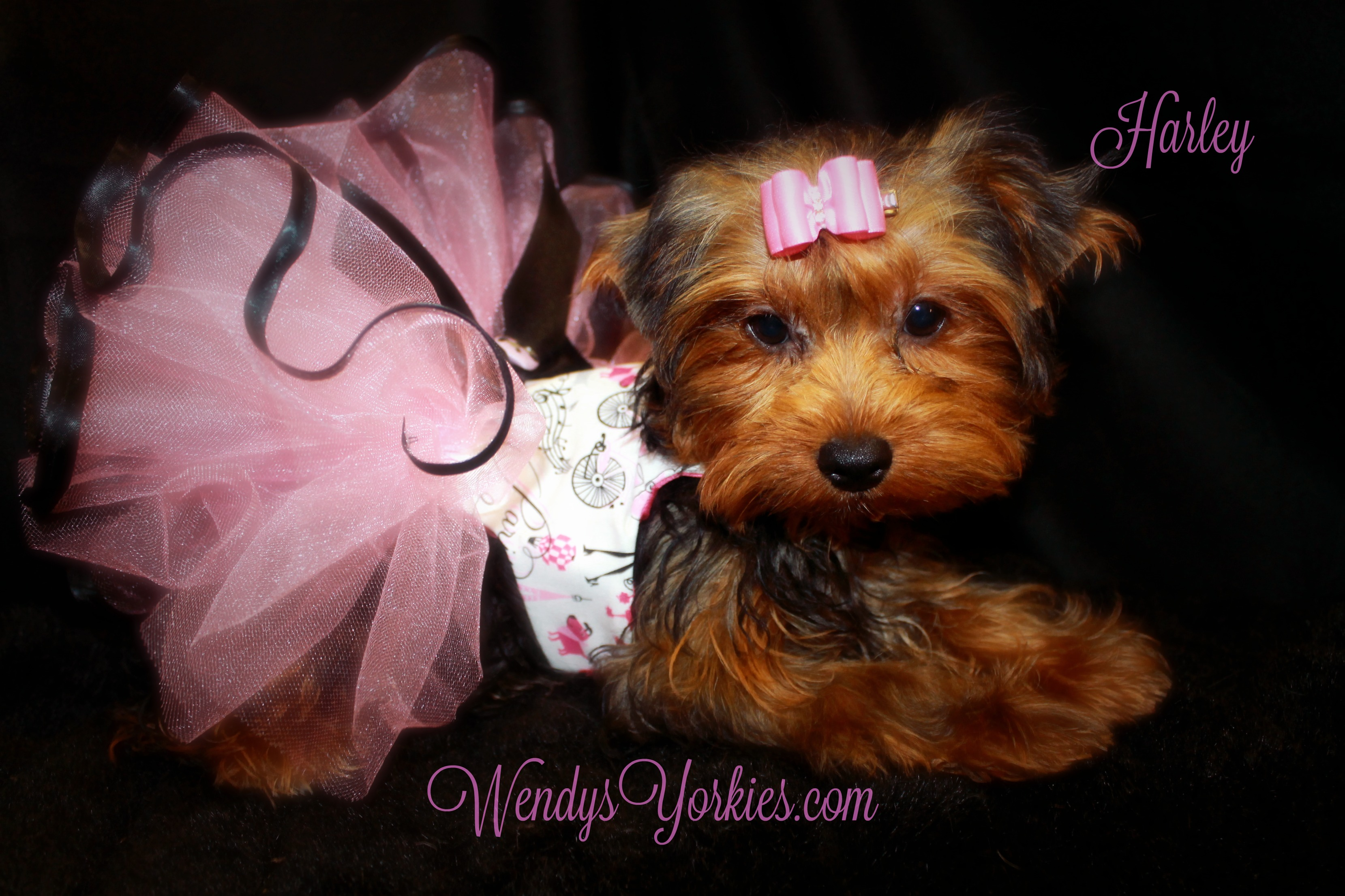 WendysYorkies.com, Harley, Yorkie puppy breeder in Texas, Yorkie puppies for sale