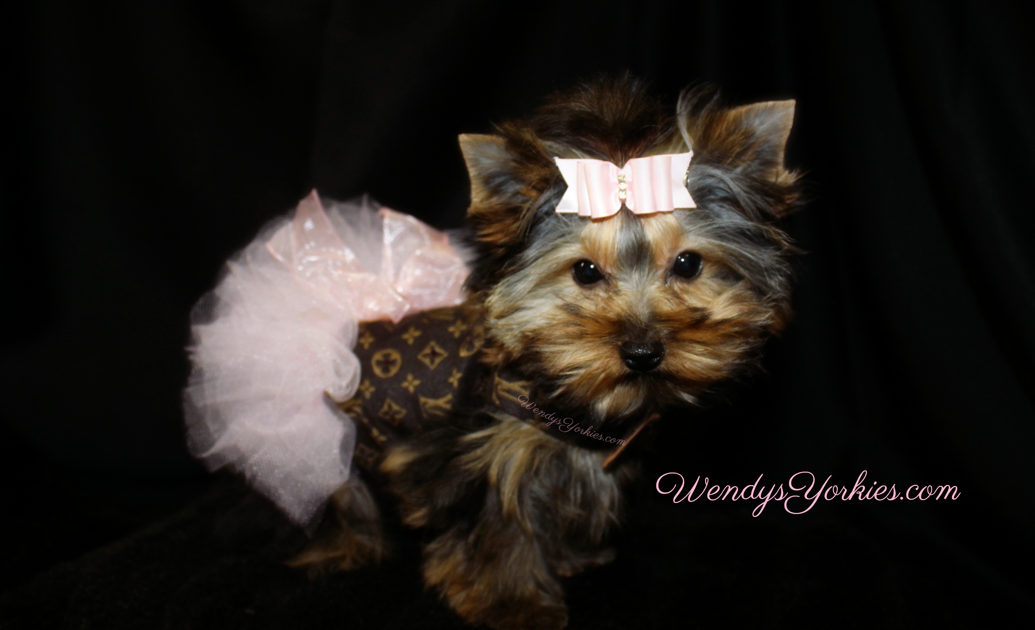 Tiny Teacup Female Yorkie puppy for sale, Snuggles, WendysYorkies.com