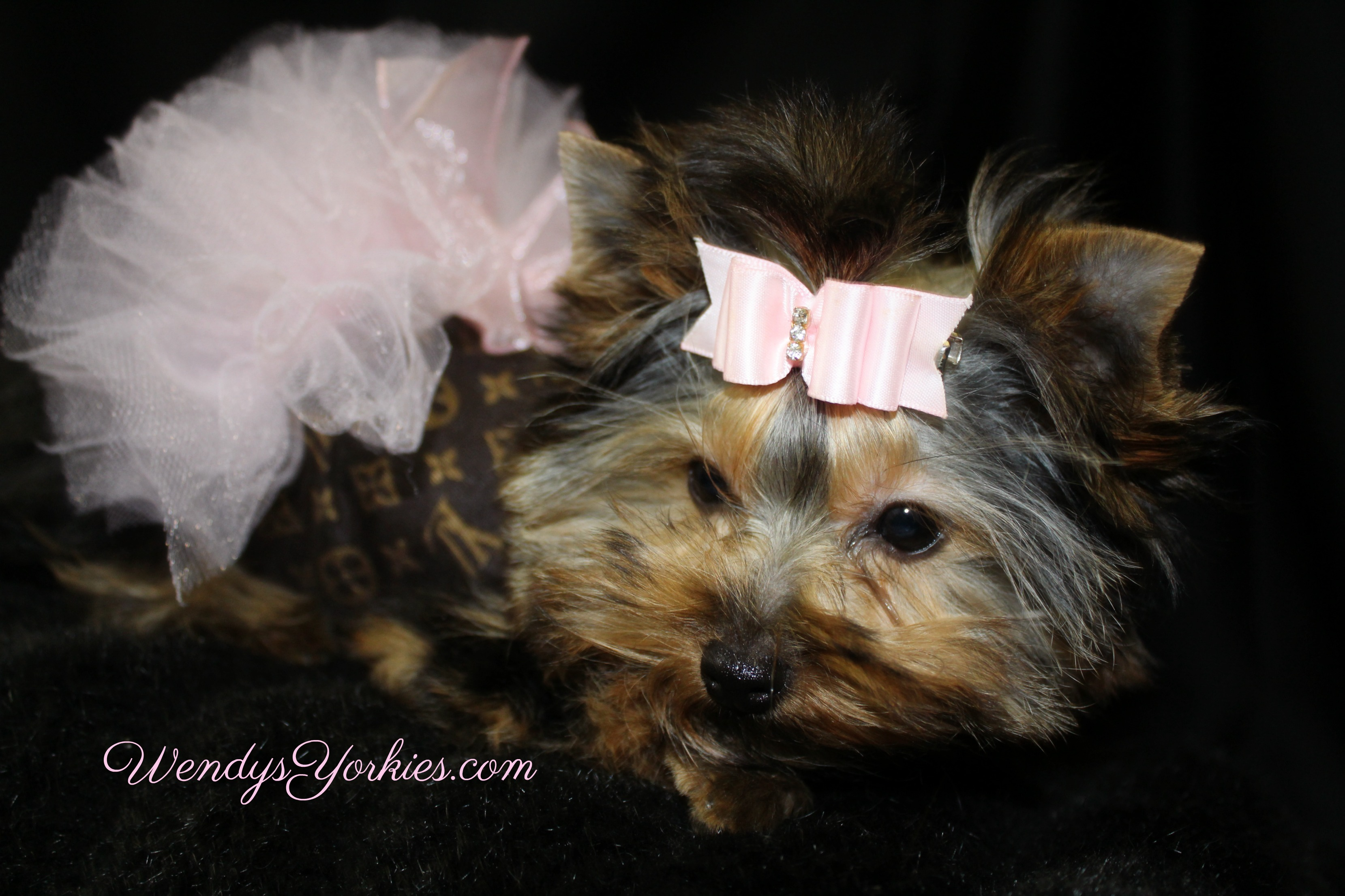 Tiny Yorkie dog dress, Designer LV dog Tutu harness dress, Snuggles, WendysYorkies.com