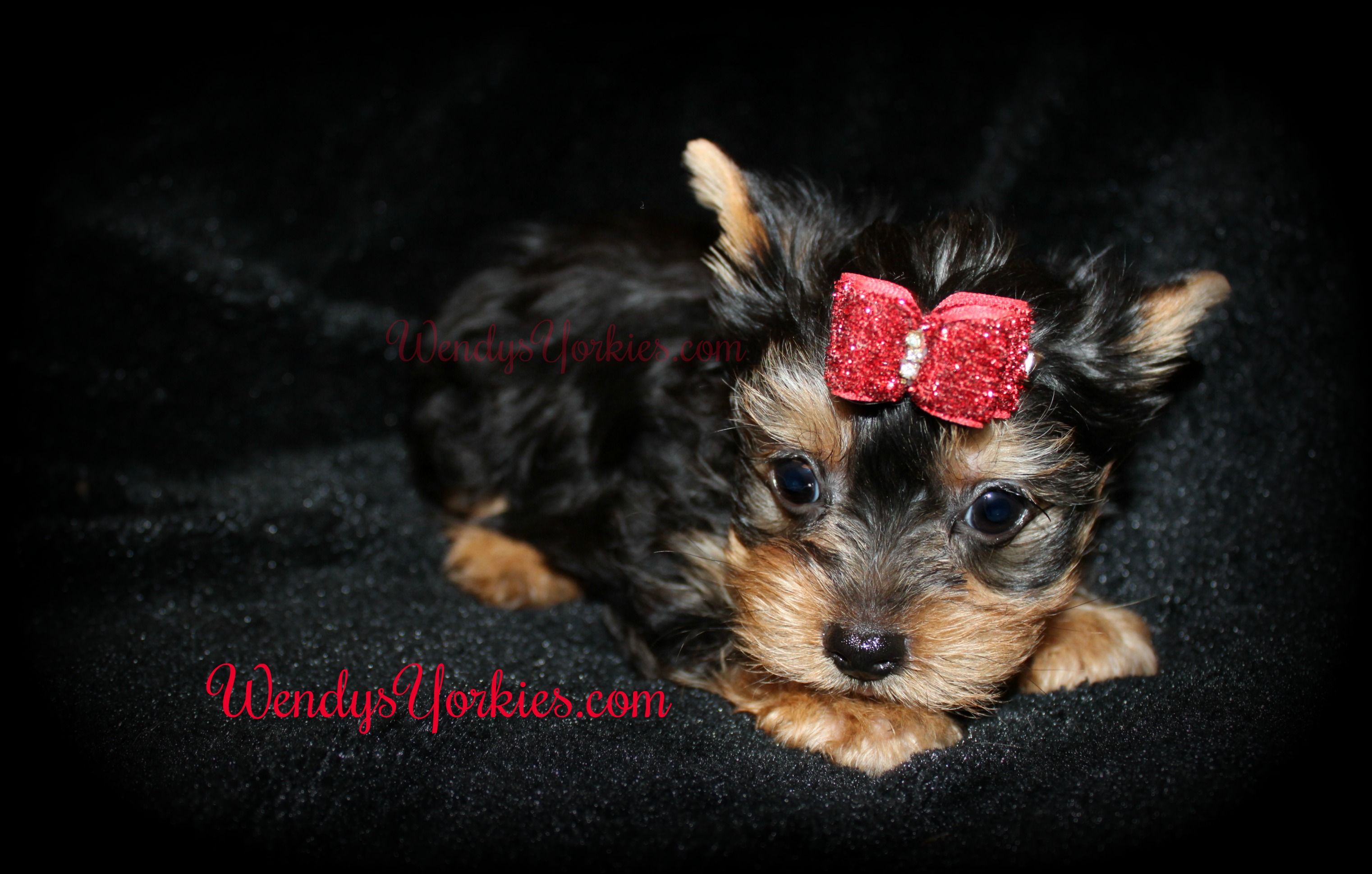 Male Teacup Yorkie puppy for sale, Yorkie puppies for sale in Texas, Anna m3, WendysYorkies.com