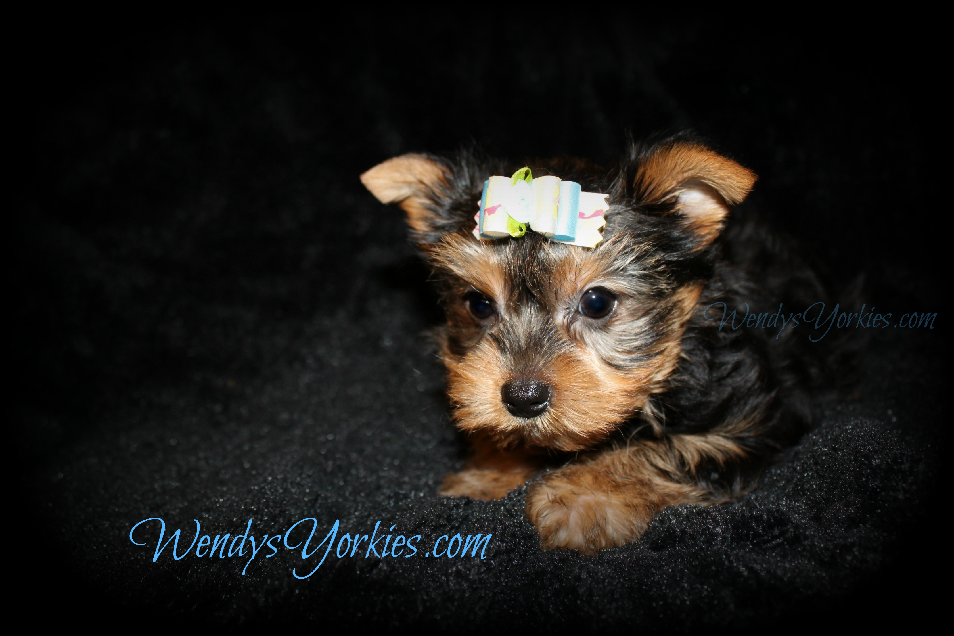 Male Yorkie puppies for sale, Teacup Yorkie puppies for sale in Texas, Anna m1, WendysYorkies.com
