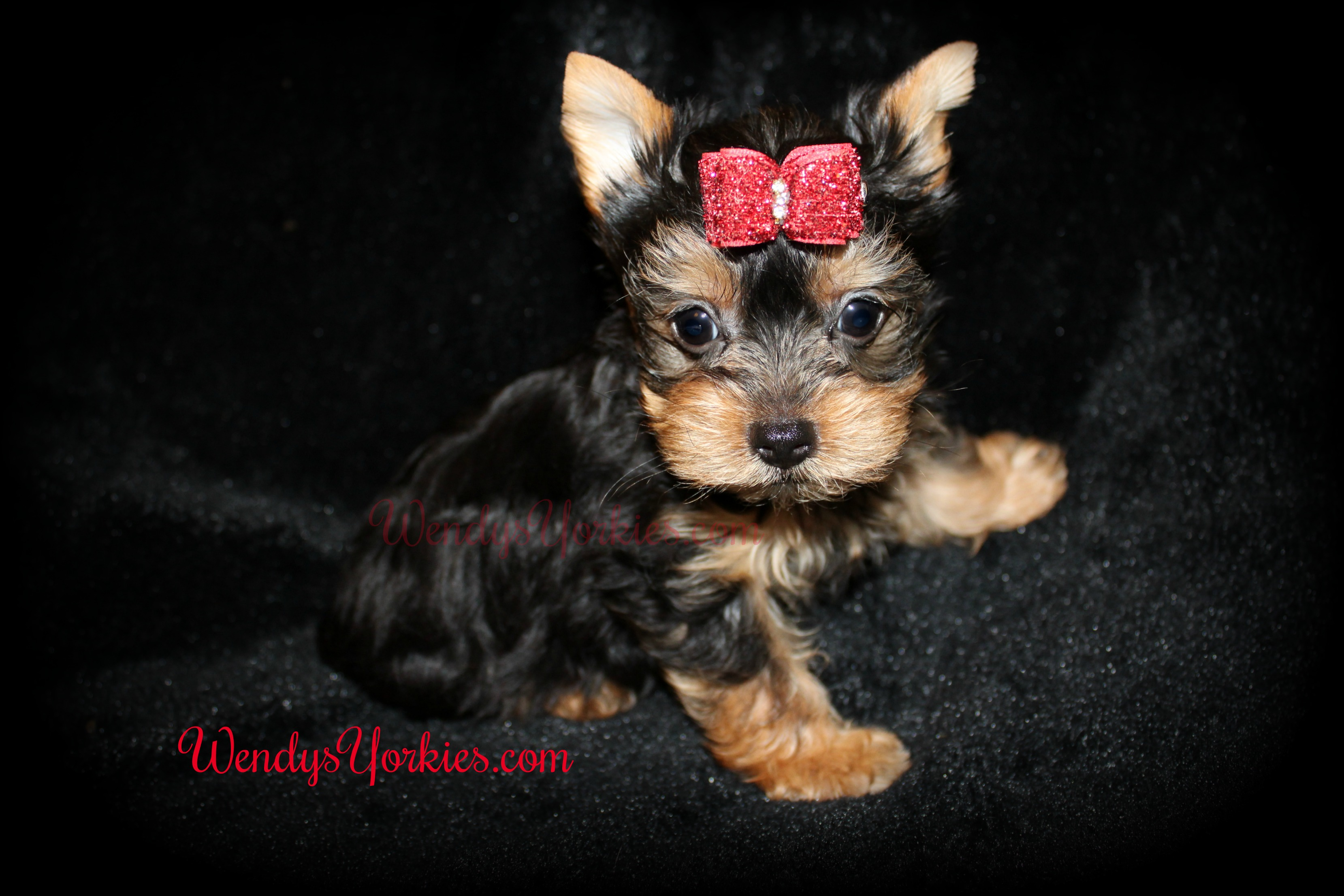 _Teacup Yorkie puppies for sale, Yorkie puppies for sale near me, Texas Yorkie puppies for sale, Anna m3, WendysYorkies.com