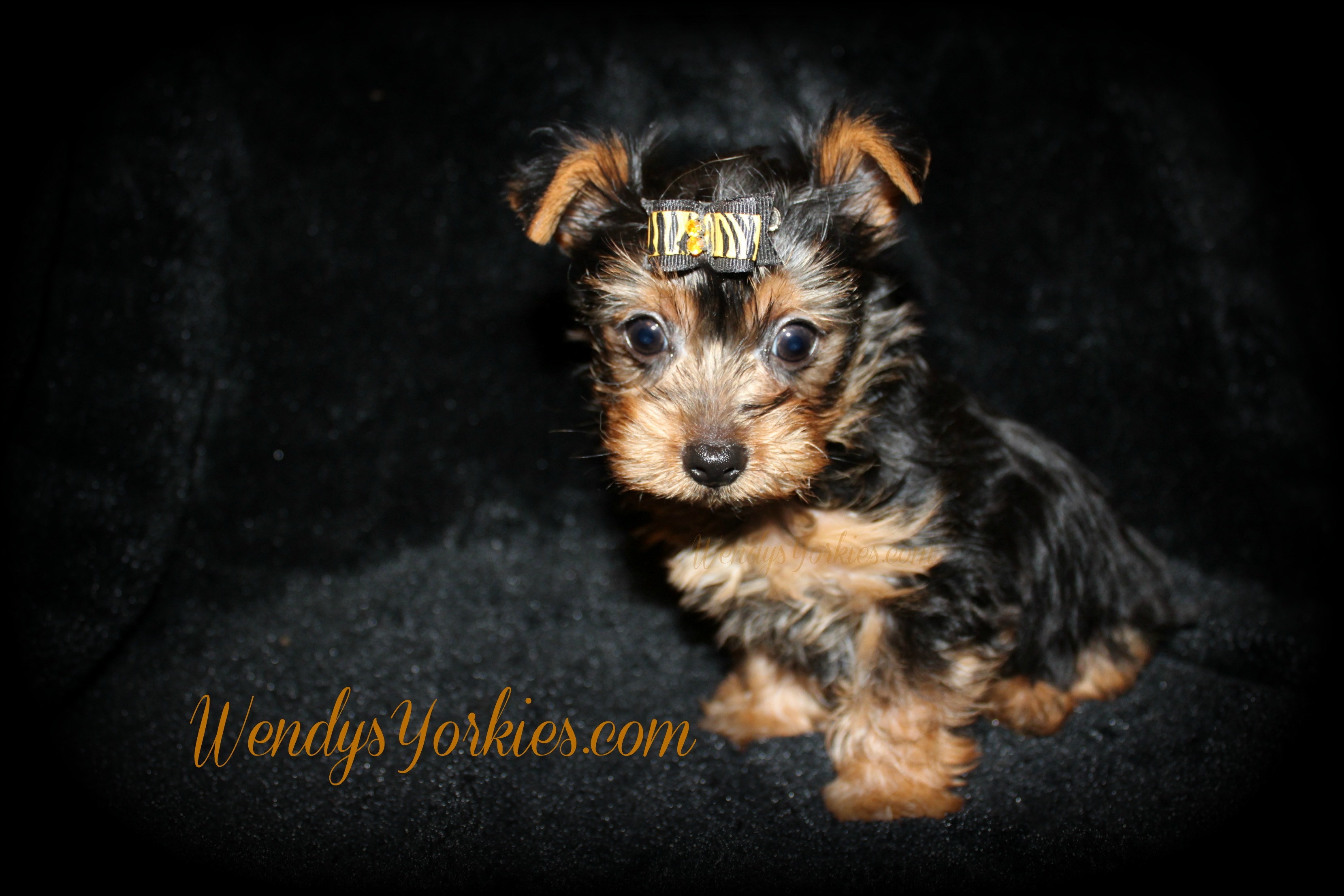 Teacup Yorkie puppies for sale in Texas, Yorkie puppies for sale near me, anna m2, WendysYorkies.com