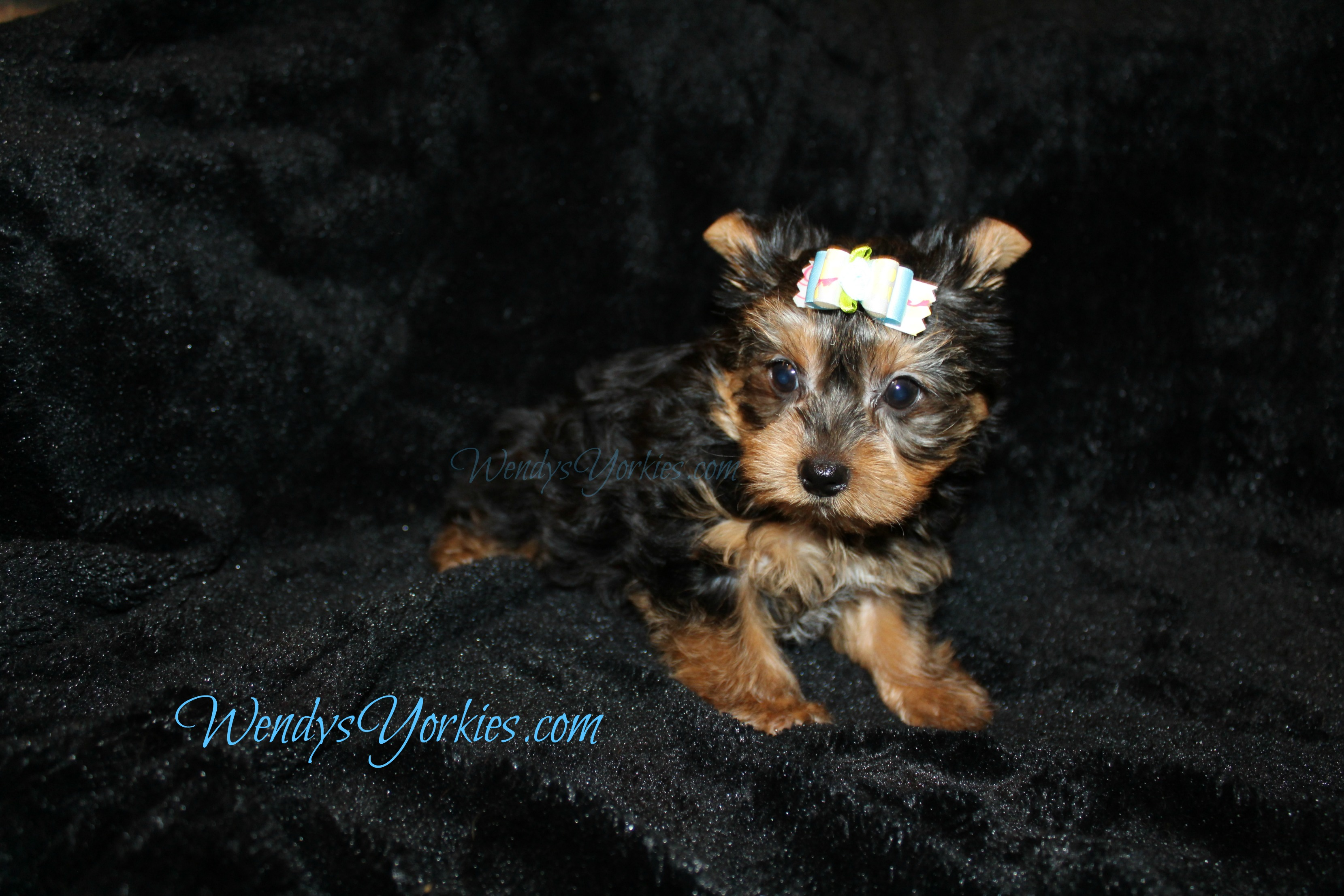 Yorkie puppies for sale in Texas, Male Yorkie puppy for sale, Anna m1, WendysYorkies.com