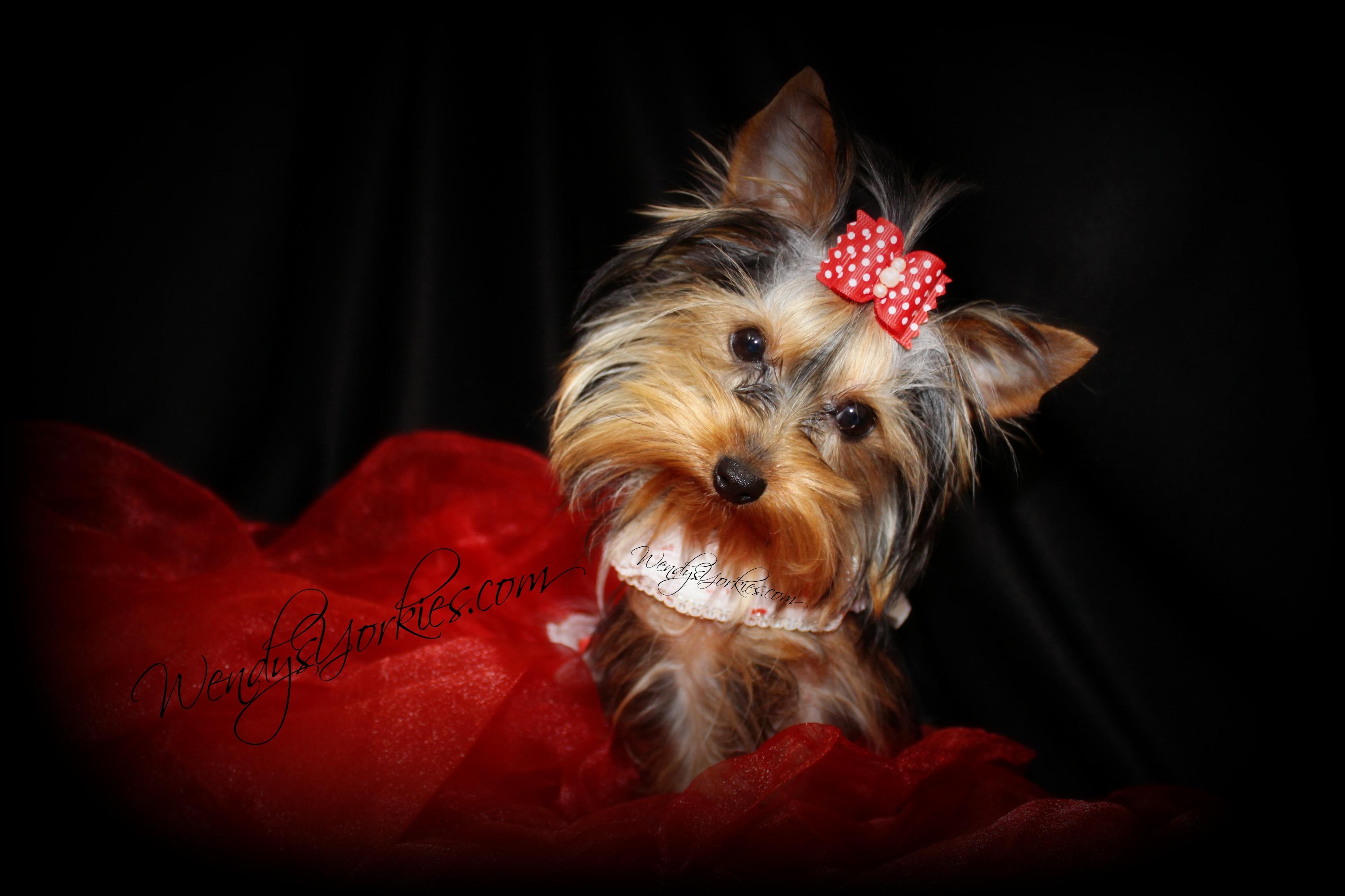 Female Teacup Yorkie Puppies For Sale in TX | Wendys Yorkies