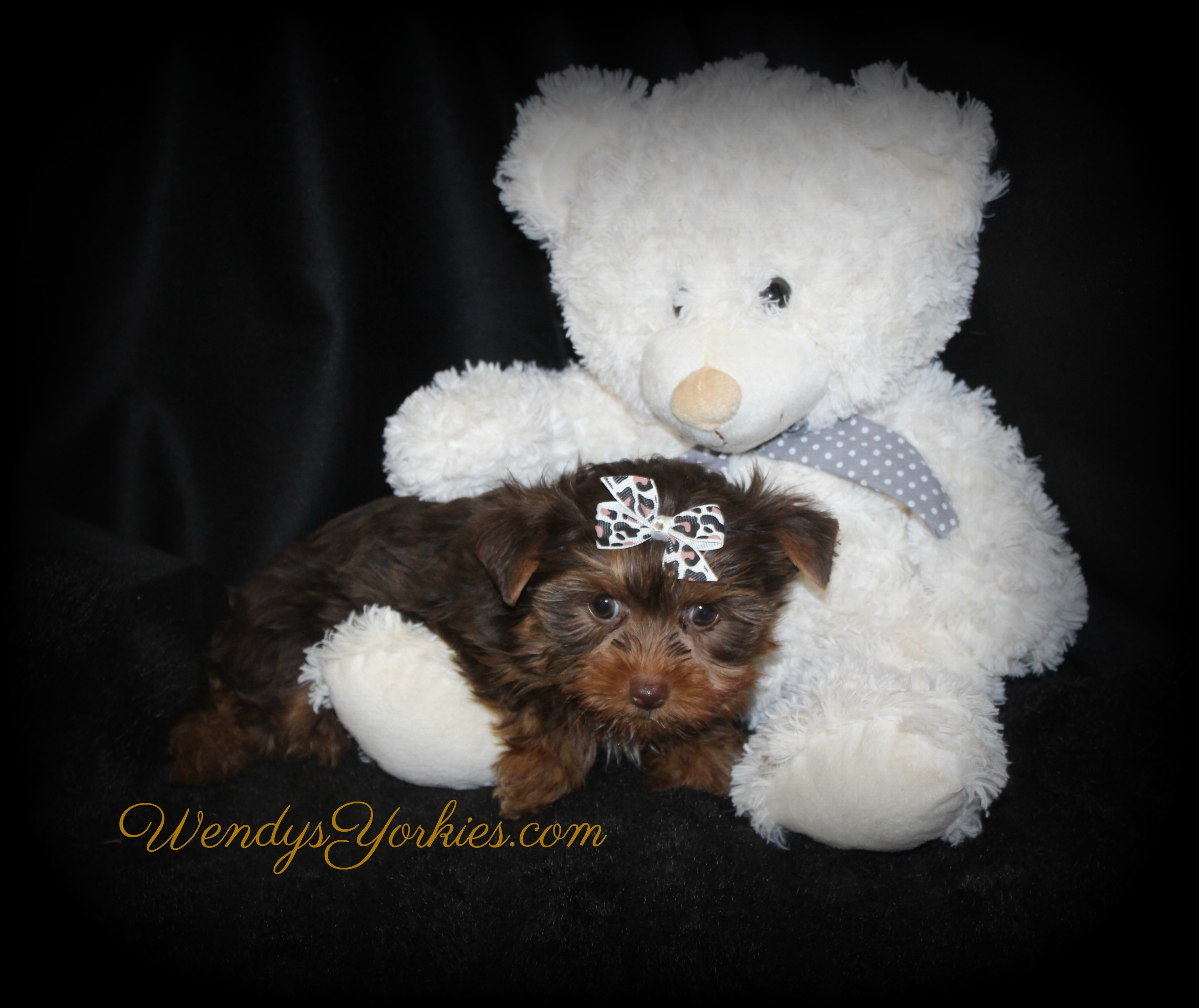 Chocolate Yorkie puppy for sale, CM2, WendysYorkies.com