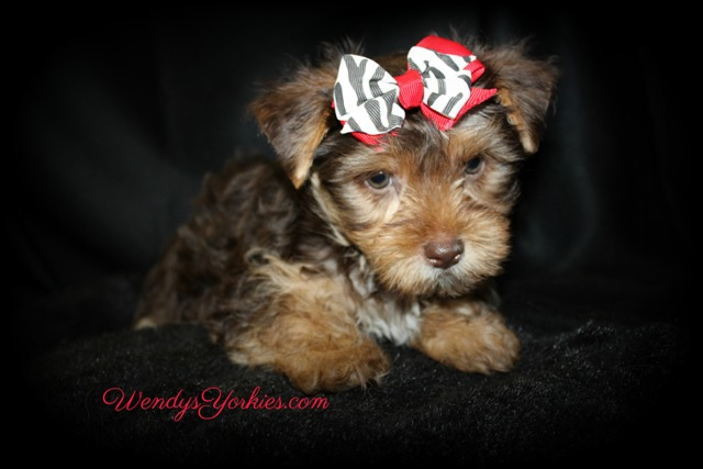 Chocolate Yorkie puppy for sale, Love bug cm1, WendysYorkies.com
