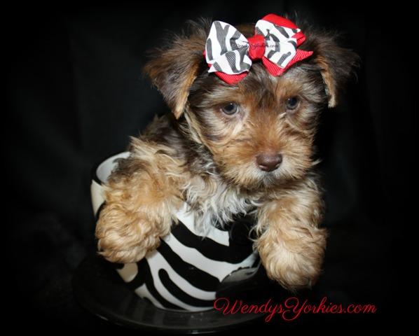 Cute Chocolate Yorkie puppy for sale,, Love bug cm1, WendysYorkies.com