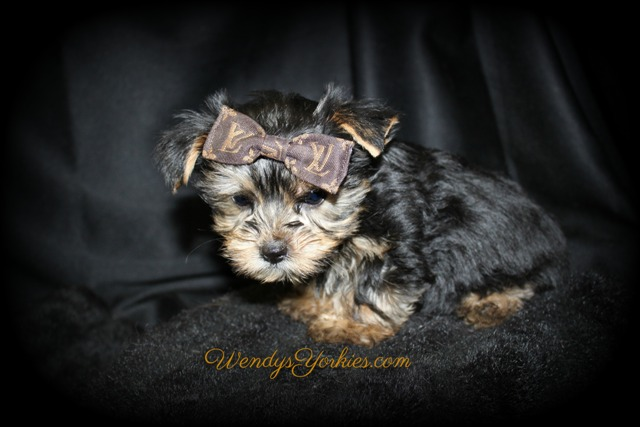 Male Yorkie puppy for sale, Love bug tm1, WendysYorkies.com