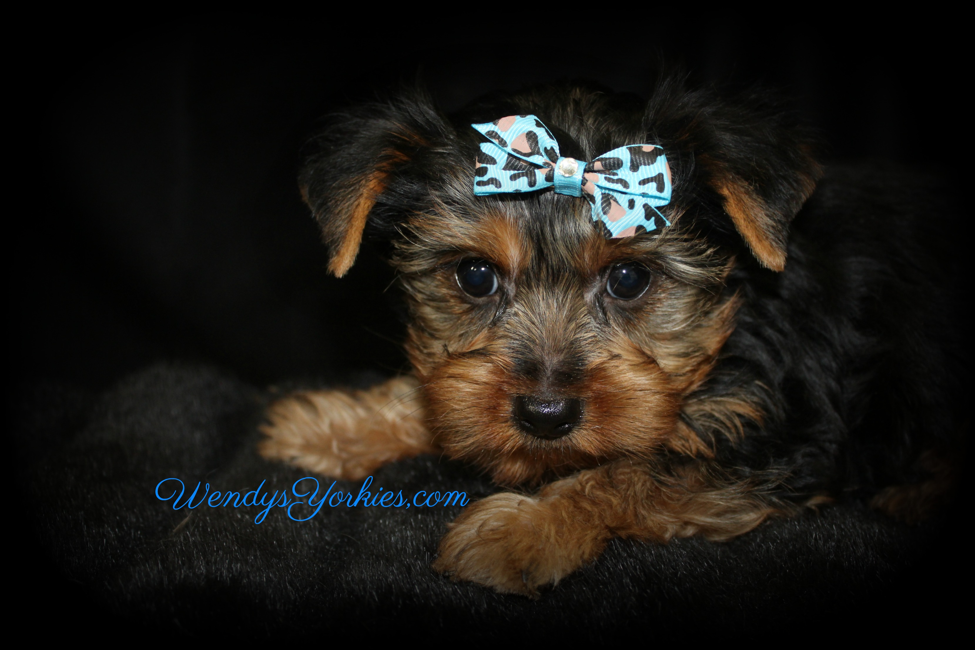 Male Yorkie puppy for sale, Tm1, WendysYorkies.com
