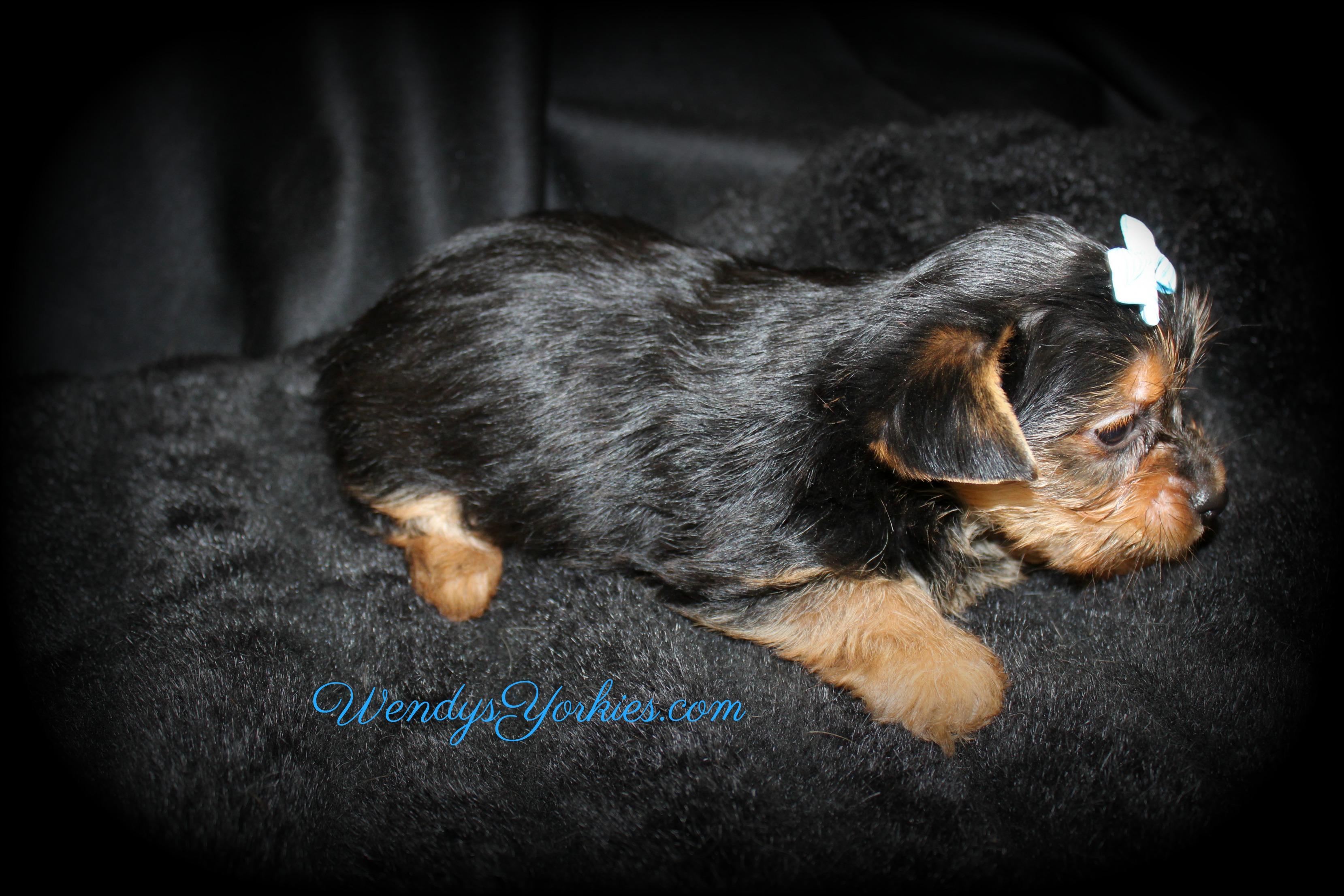 Male Yorkie puppys for sale, WendysYorkies.com, Skeeter m1