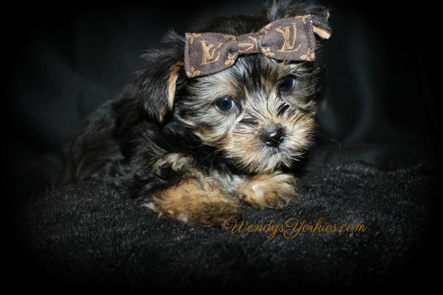 Teacup Male Yorkie puppy for sale in Texas, Love bug tm1, WendysYorkies.com