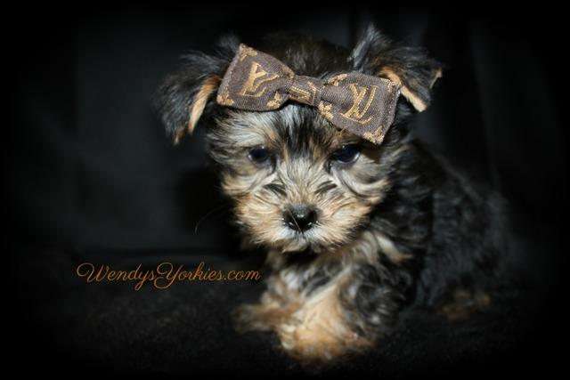 Teacup Yorkie puppy for sale, Love bug tm1, WendysYorkies.com