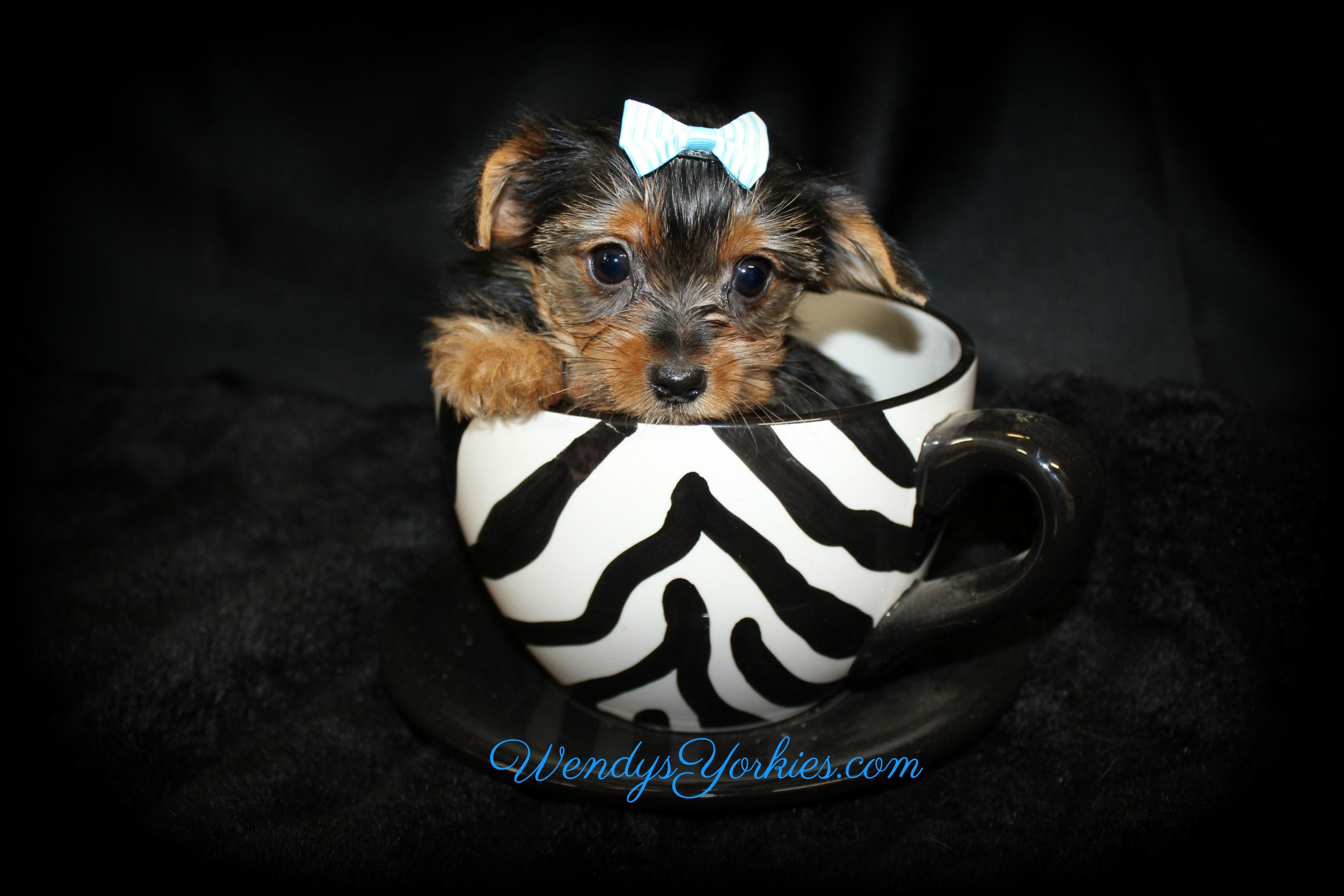 Teacup Yorkie puppy for sale, Skeeter m2, WendysYorkies.com