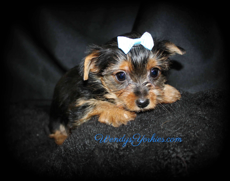 Tiny Male YOrkie puppy fro sale, Skeeter m1, WendysYorkies.com