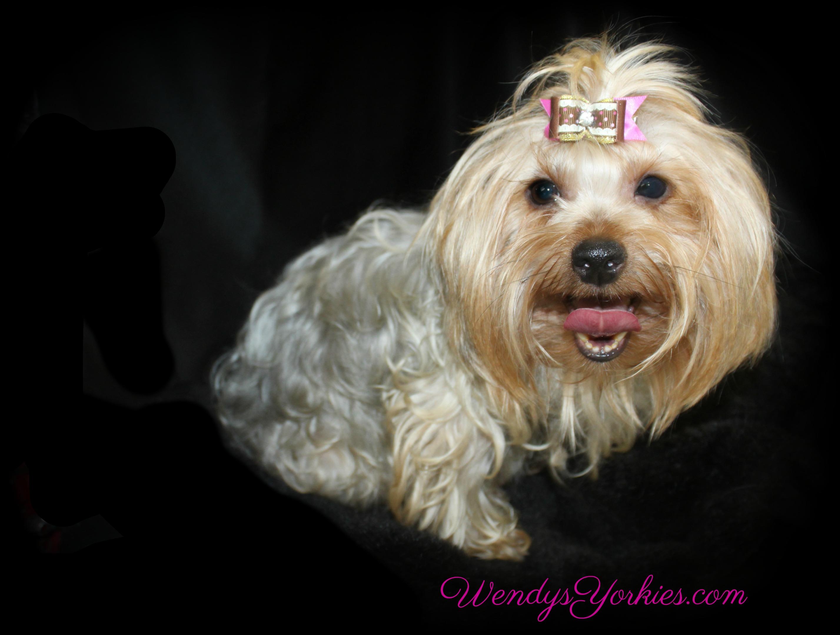 WendysYorkies.com, Yorkie puppy breeder in Texas