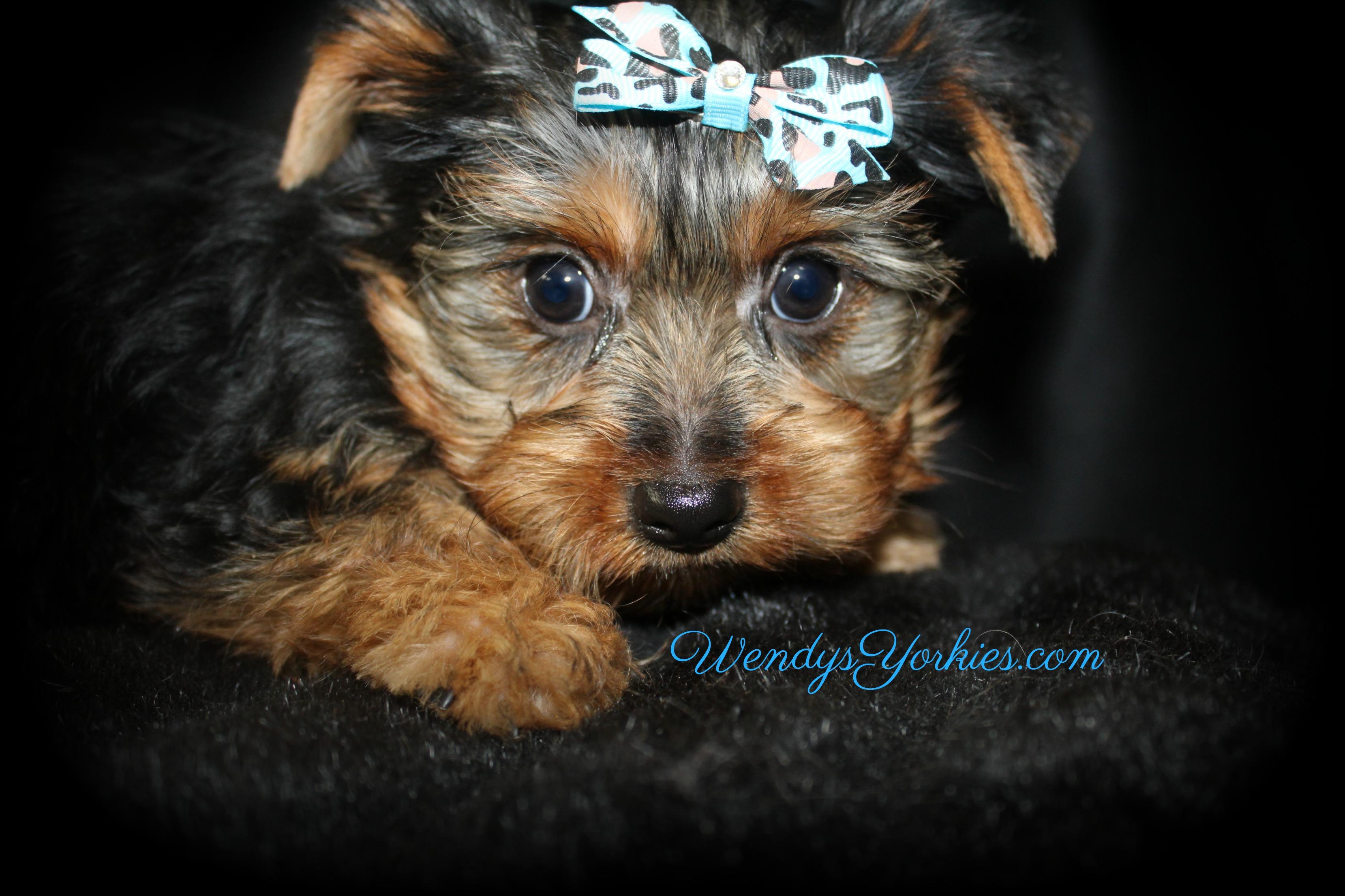 Yorkie puppy for sale, WendysYorkies.com m1