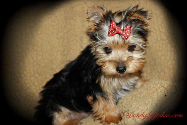 Teacup Male Yorkie puppies for sale in Texas, m1, WendysYorkies.com