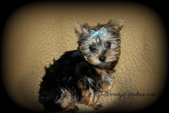 Teacup Male yOrkie puppies for sale in TExas, m3, WendysYorkies.com
