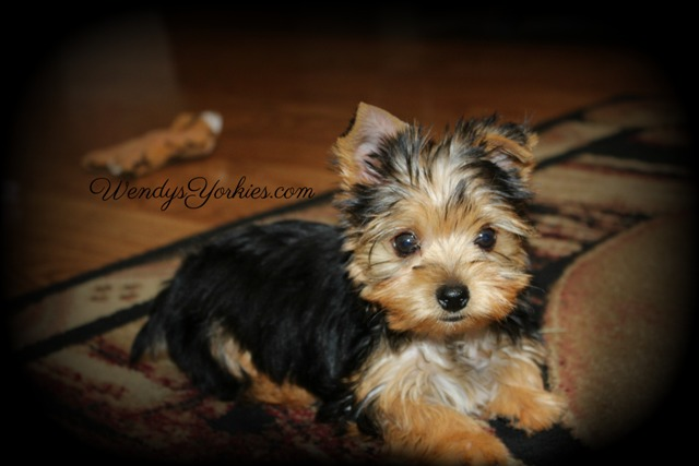 Teacup Yorkie puppy for sale in Texas, m1, WendysYorkies.com